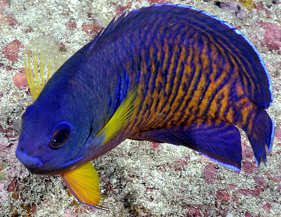 Centropyge bispinosa one of the best dwarf angelfish choices as a beginner saltwater fish