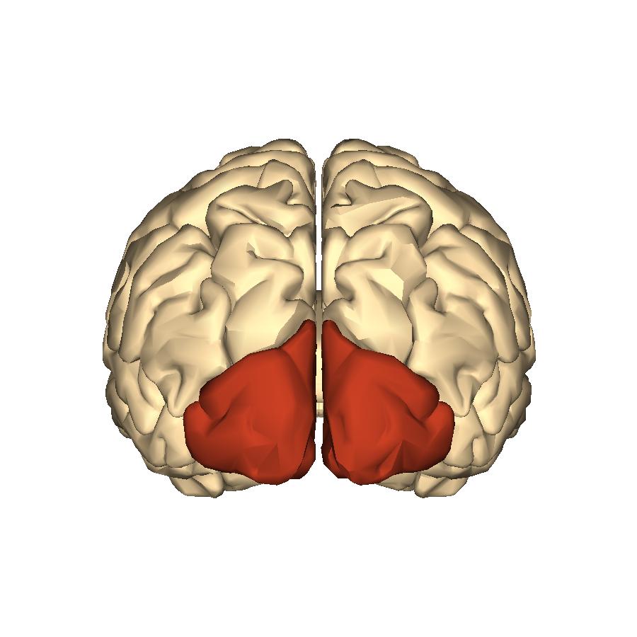 Filecerebrum Occipital Lobe Posterior Viewg Wikimedia Commons