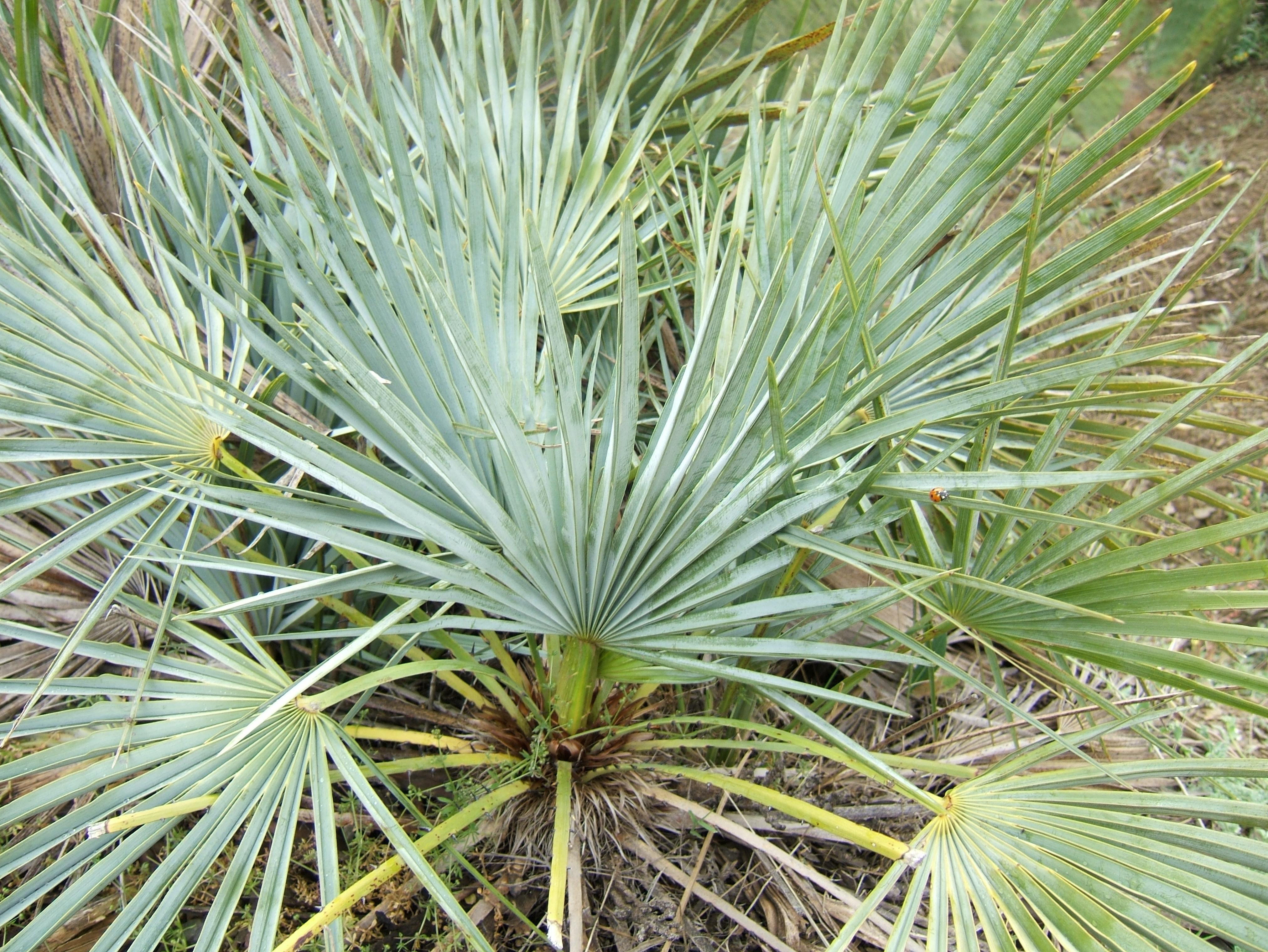 File chamaerops humilis wikimedia commons for Palmier nain exterieur