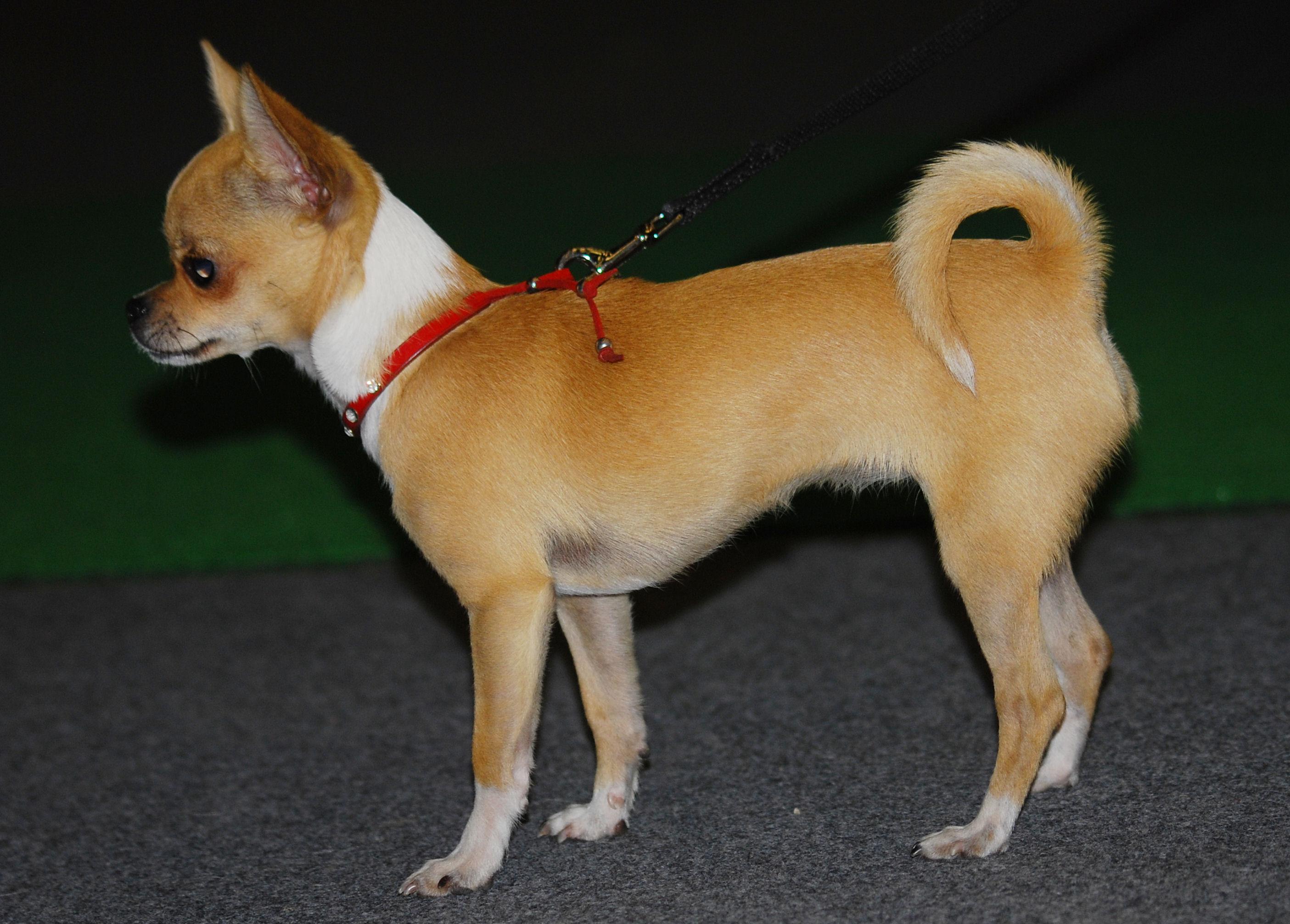 File:Chihuahua 01 K.jpg - Wikimedia Commons