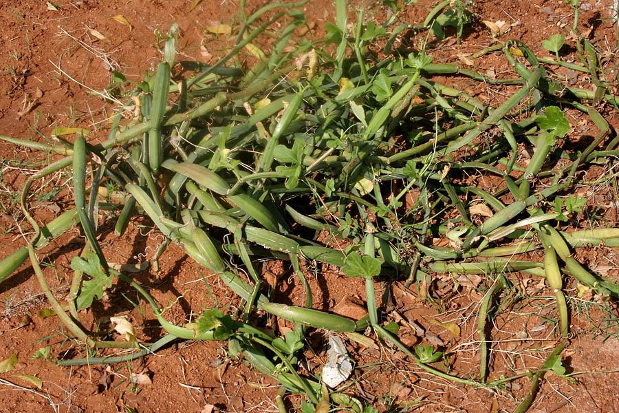 Cissus quadrangularis Veldt Grape Gardening Plants, Seeds & Bulbs ...