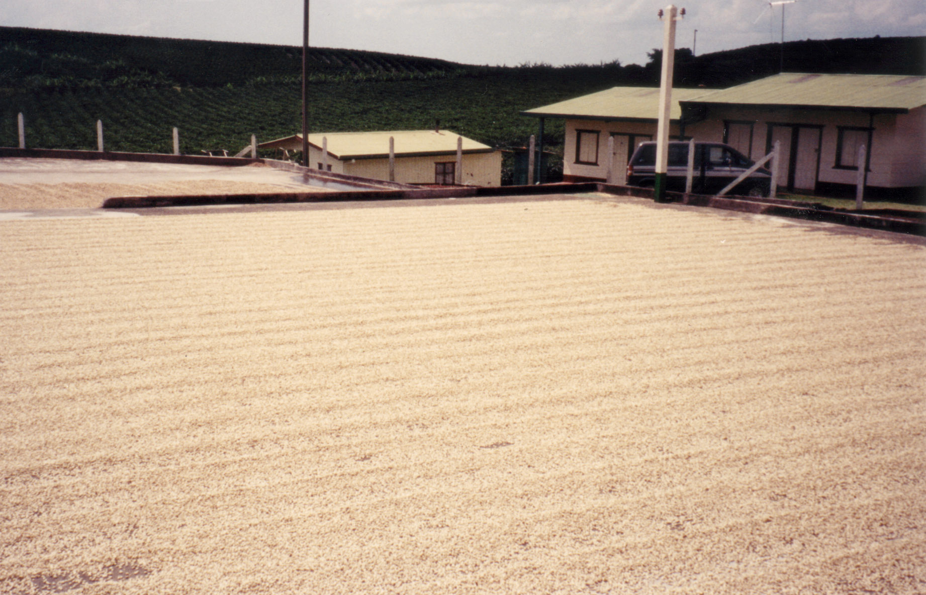File Coffee Drying On Concrete Patio