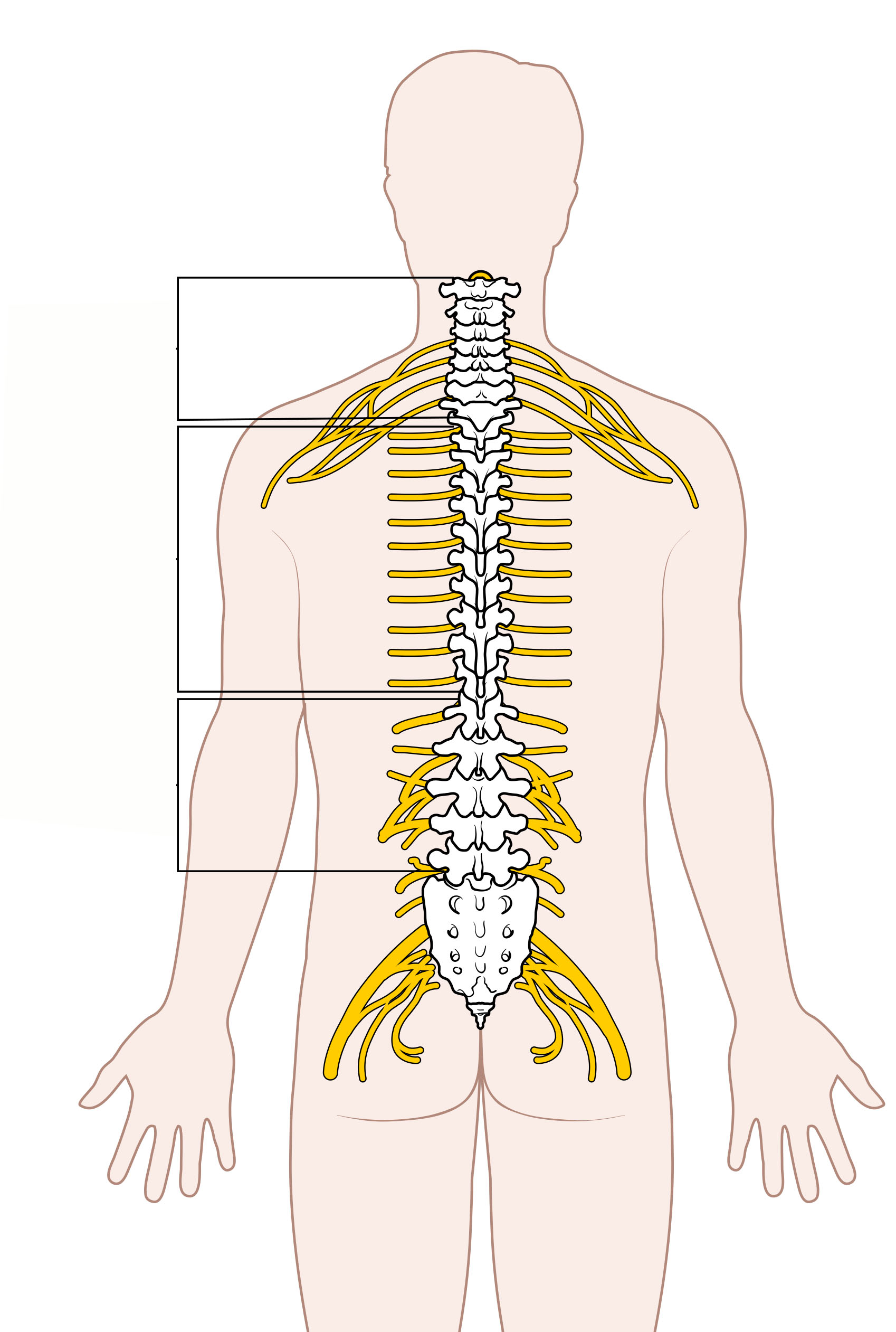 File:Diagram of the Spinal Cord Unlabeled.jpg - Wikimedia ...