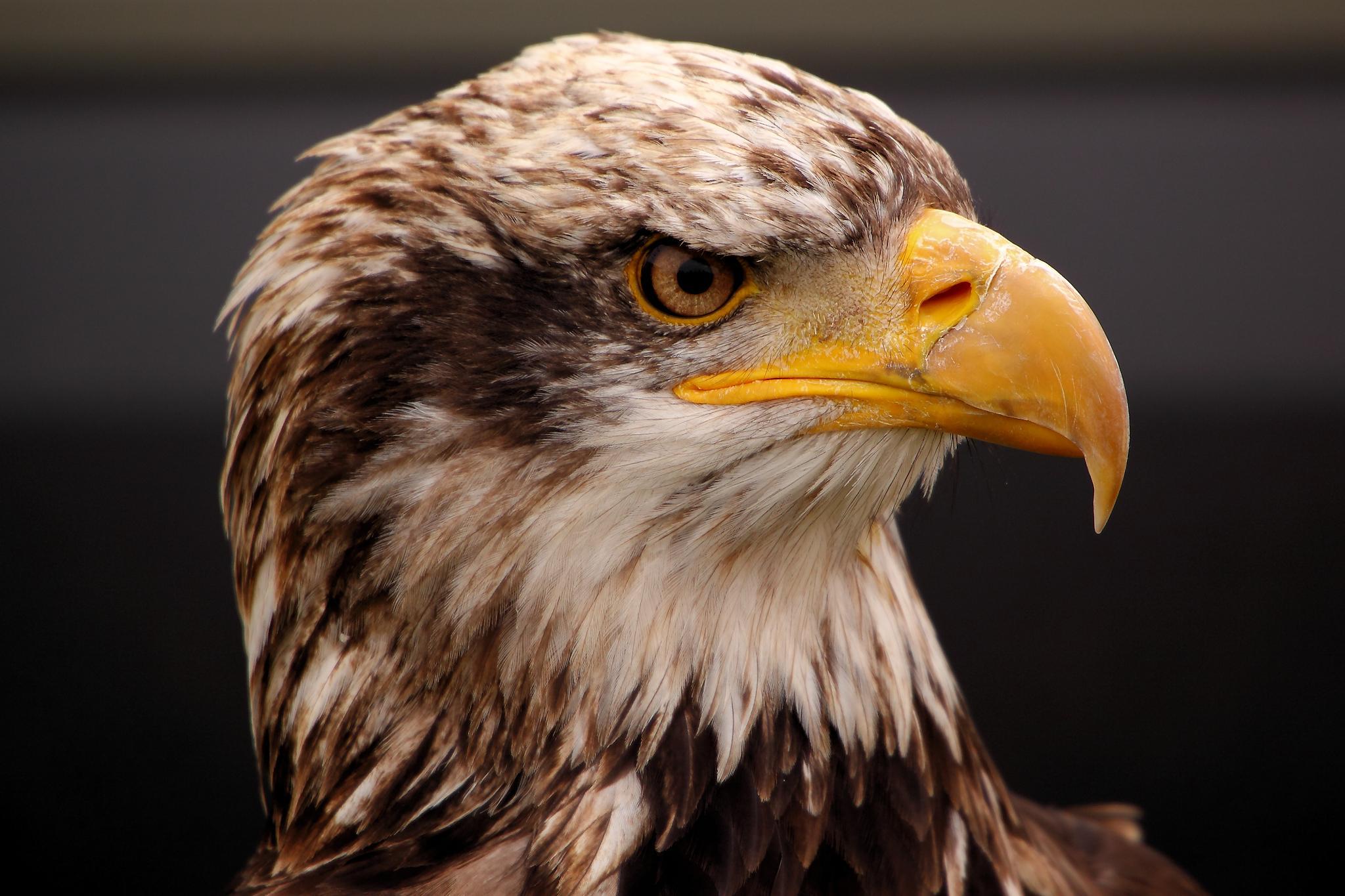 Eagle Close Up, #Eagle