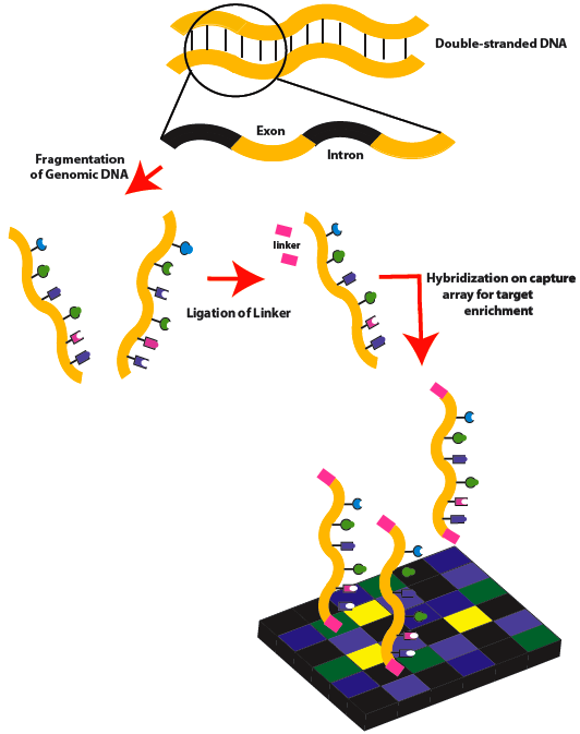 Exome sequencing - Wikipedia
