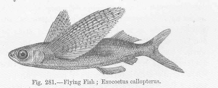 Exocoetus obtusirostris - Oceanic Two-wing Flyingfish ...