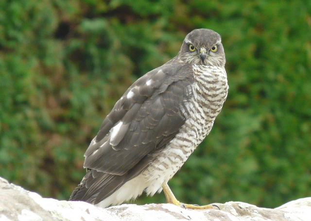 Female sparrowhawk - geograph.org.uk - 937444