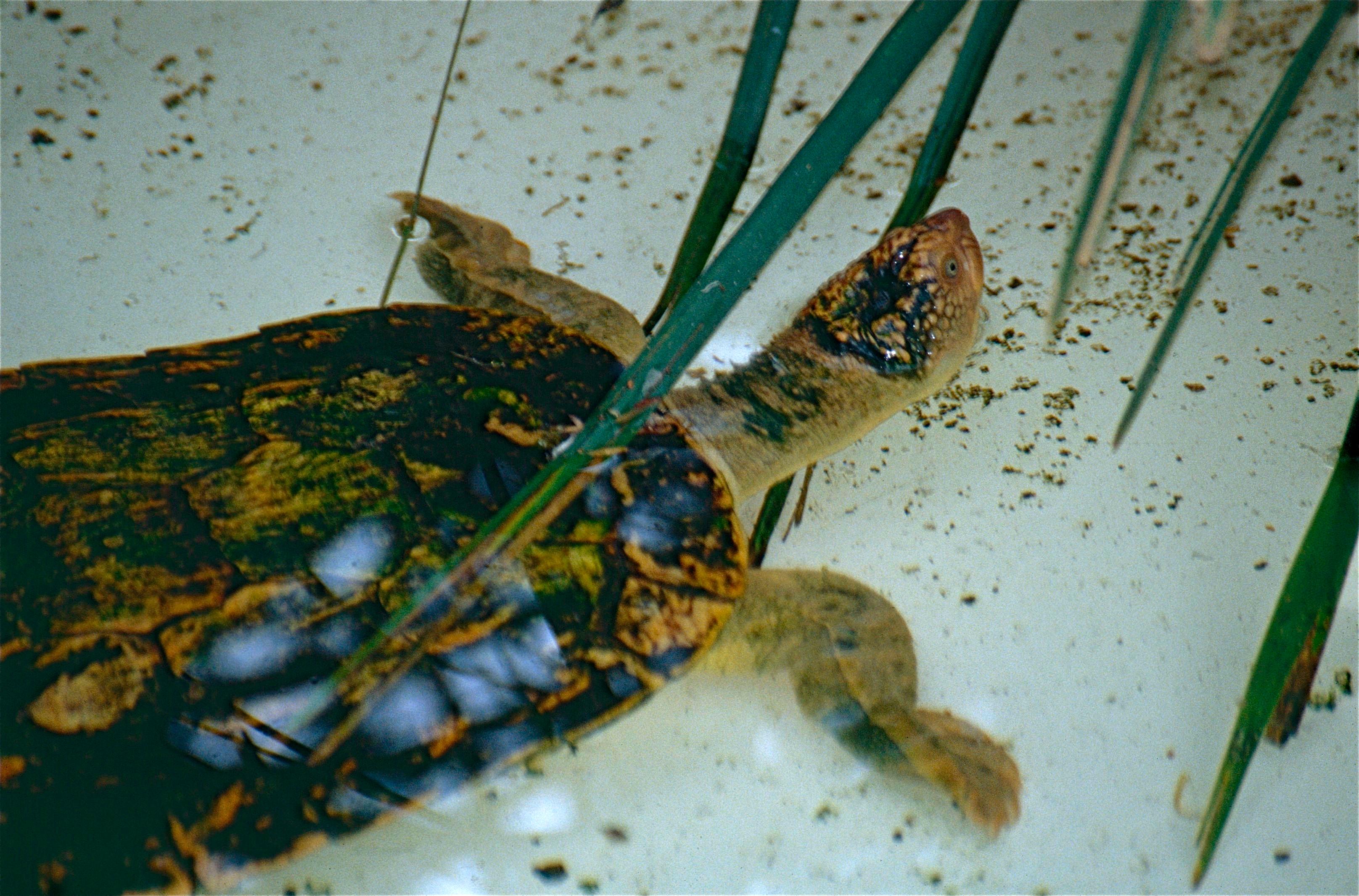 Fitzroy River Turtle (Rheodytes leukops) (10112920833).jpg