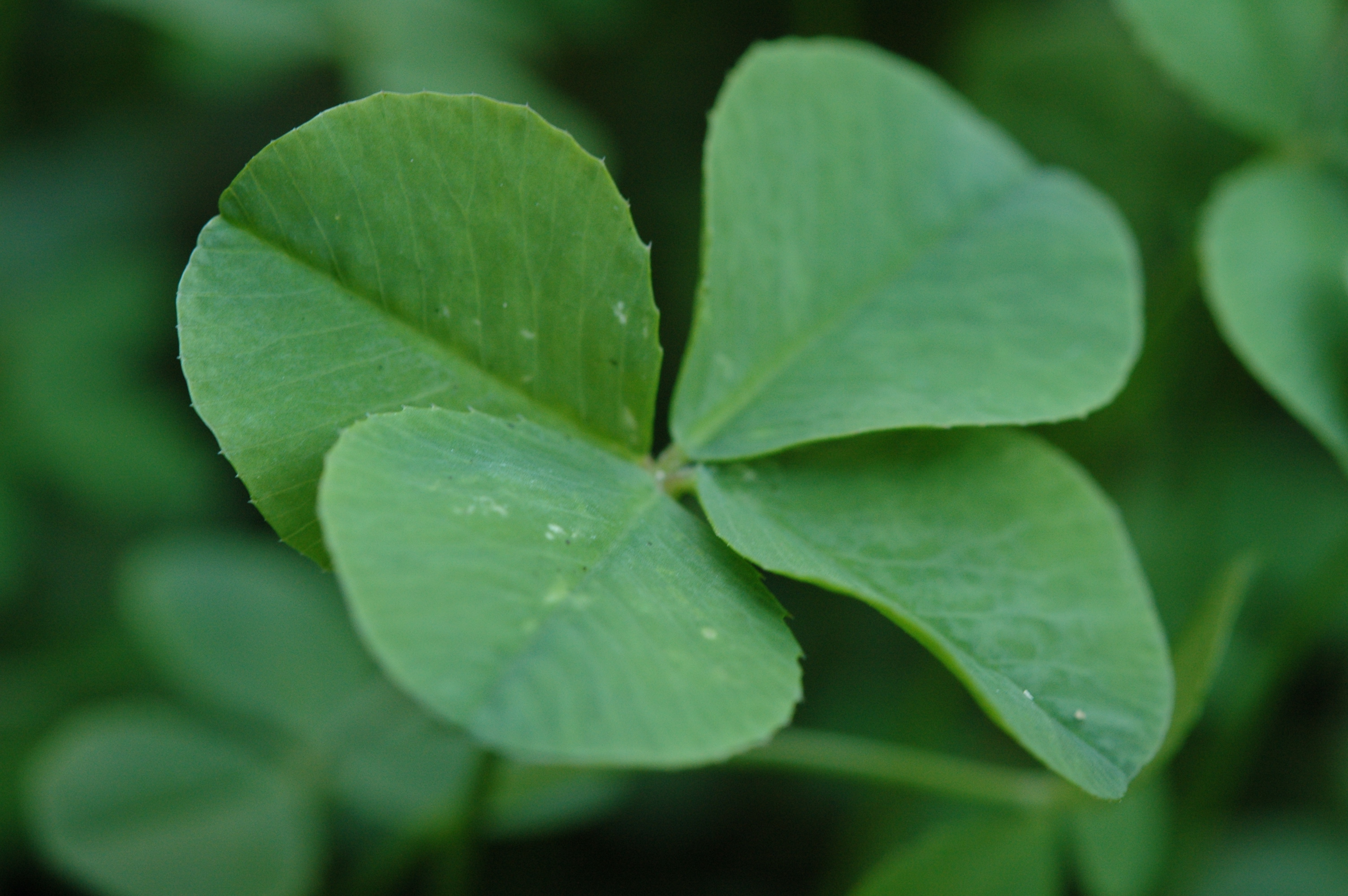 Image result for four leaf clover