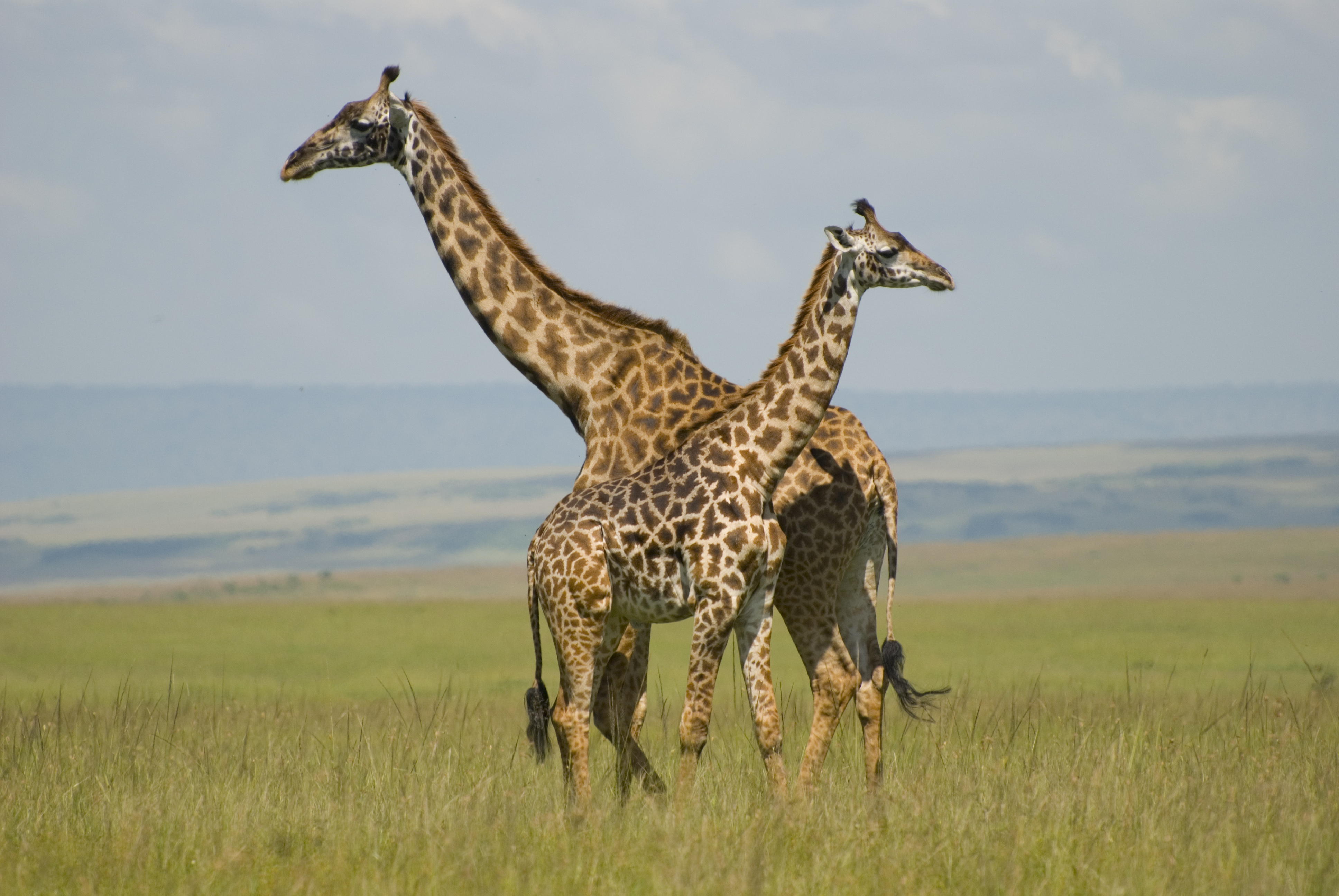 Some of the beautiful giraffe's in the Maasai Mara