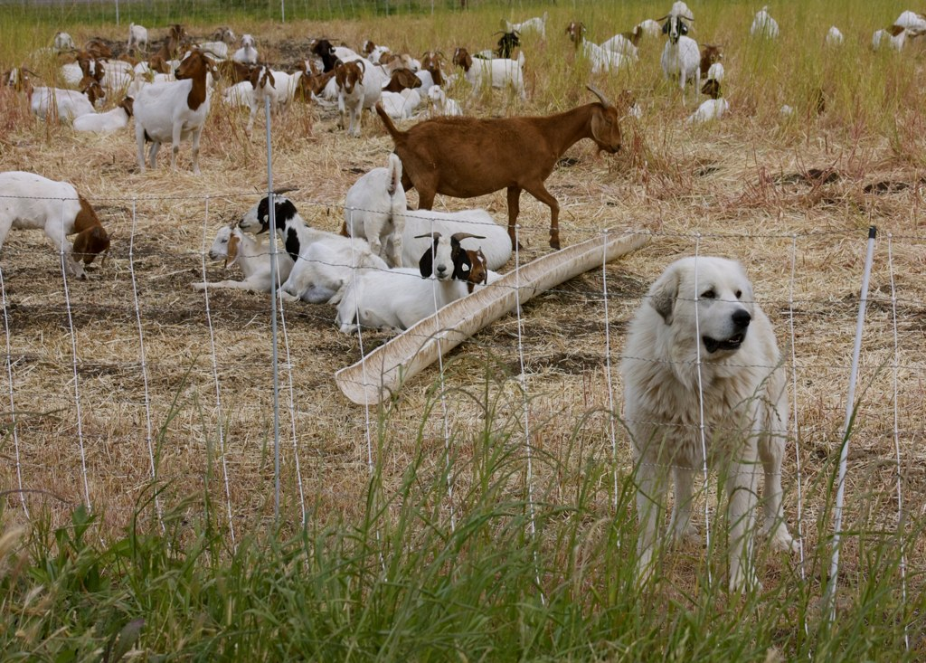 Description Great Pyrenees dog and goats.jpg