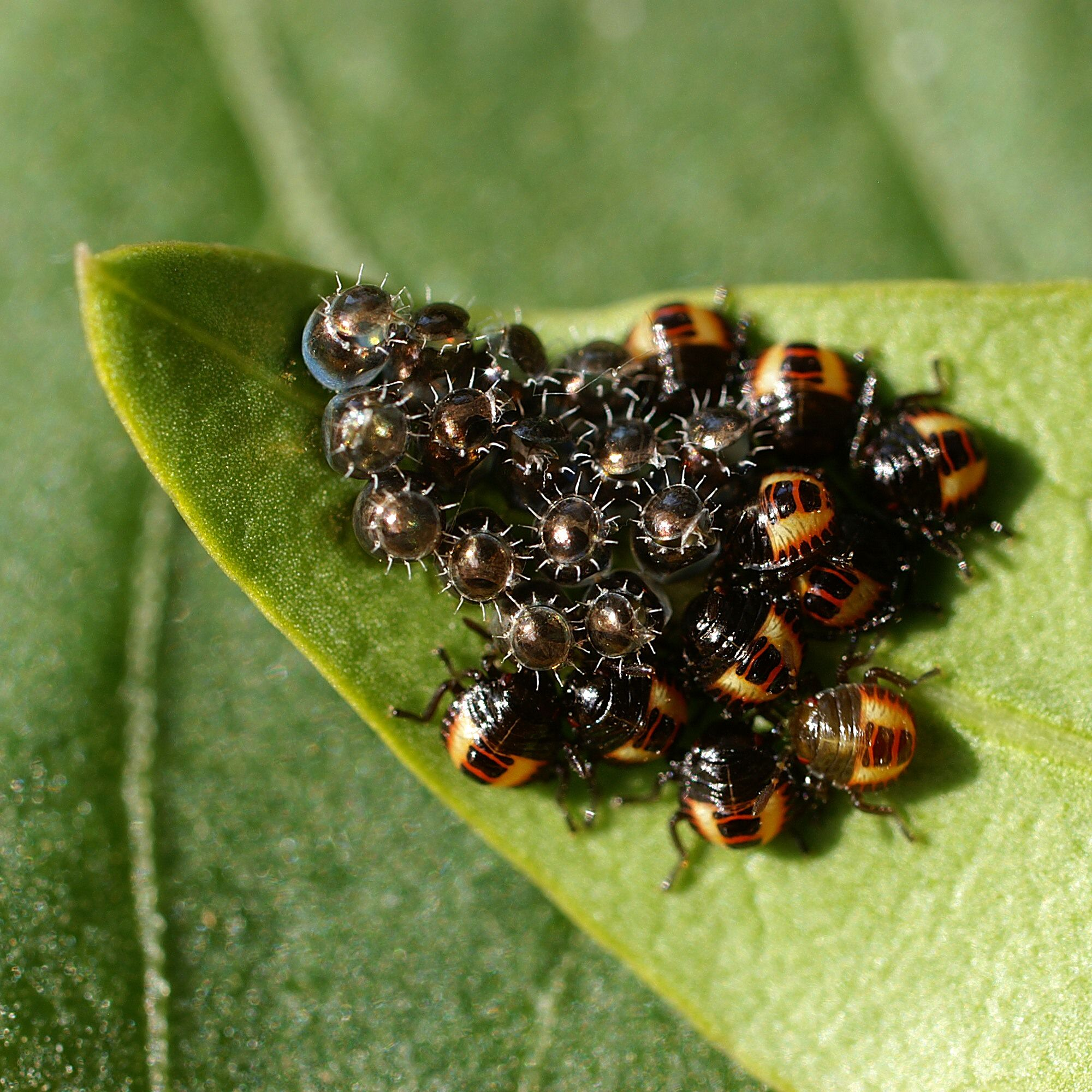 instar