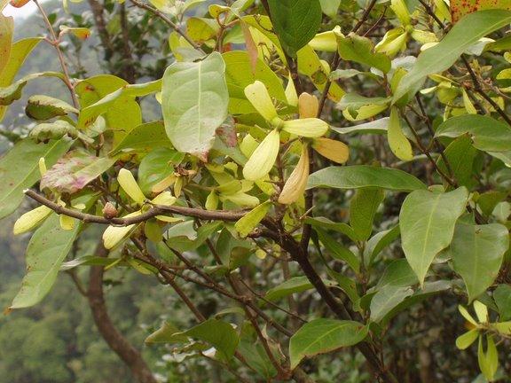 File:Hiptage benghalensis 猿尾藤 1 (天問).jpg