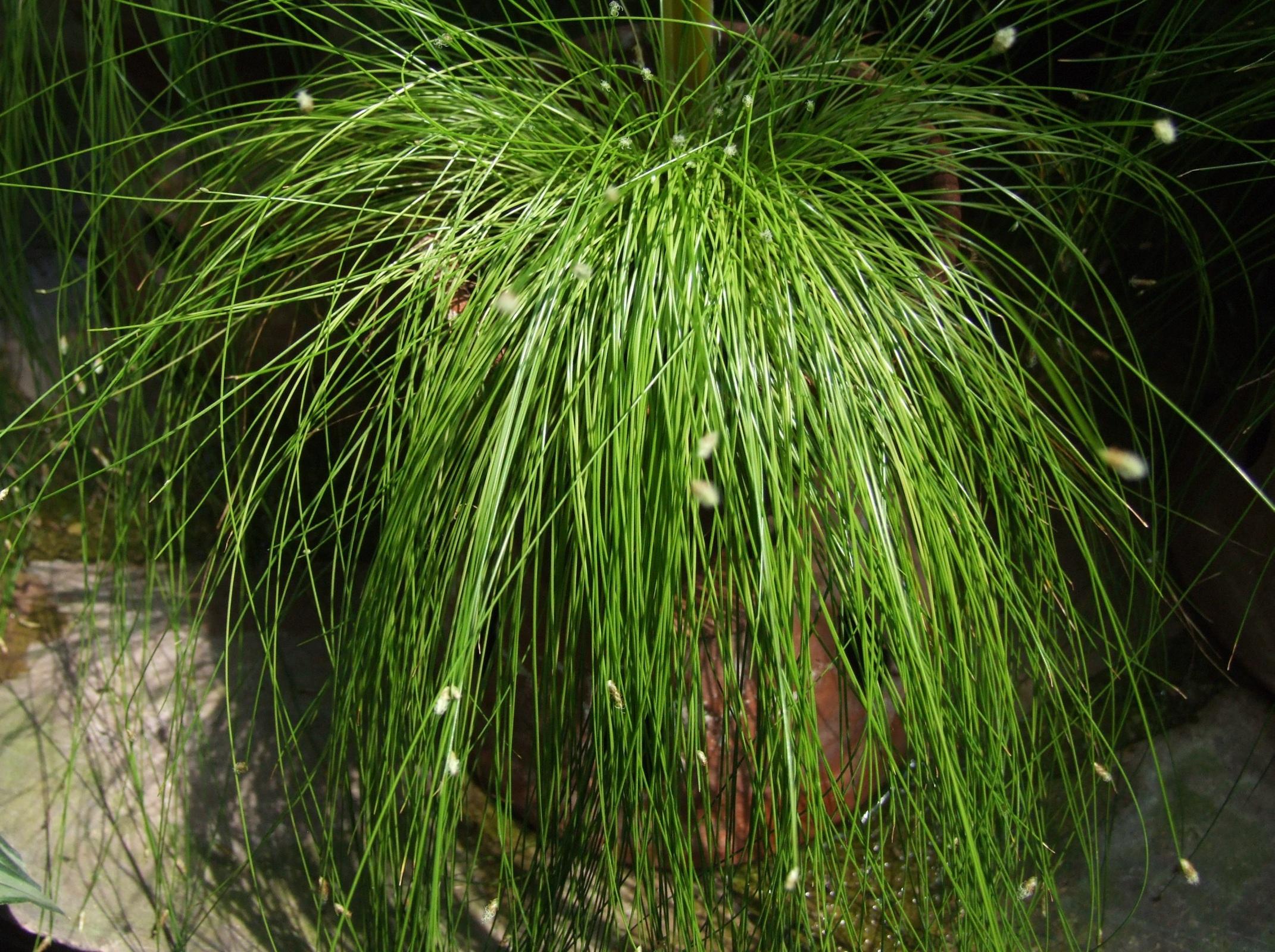 Pianta da interno sempreverde : File:Isolepis cernua OB.jpg