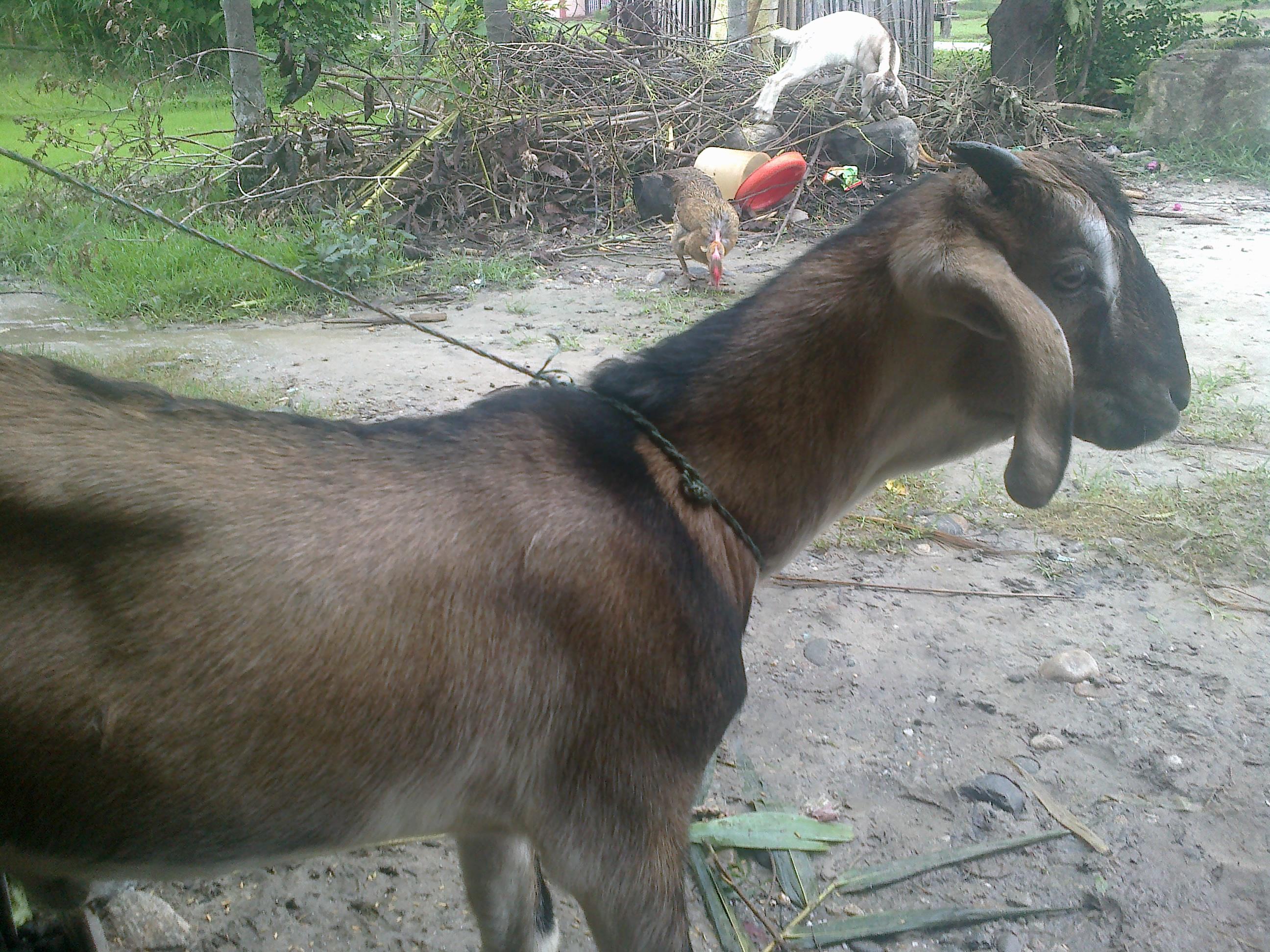 Jamnapari goat - Wikipedia