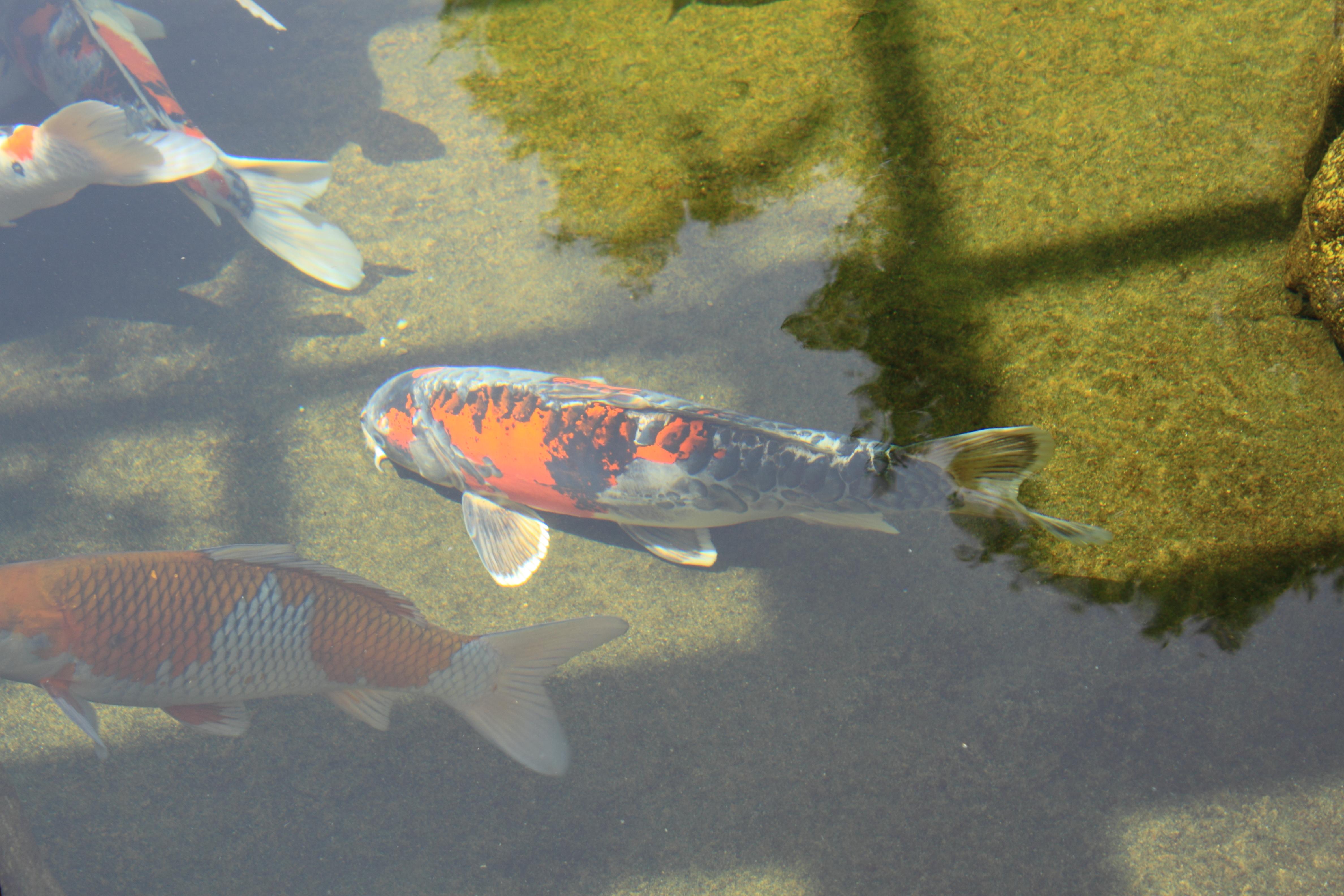 File japanese friendship garden path koi pond 3 jpg for Japanese friendship garden san jose koi fish