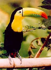 קובץ:Keel billed toucan.jpg