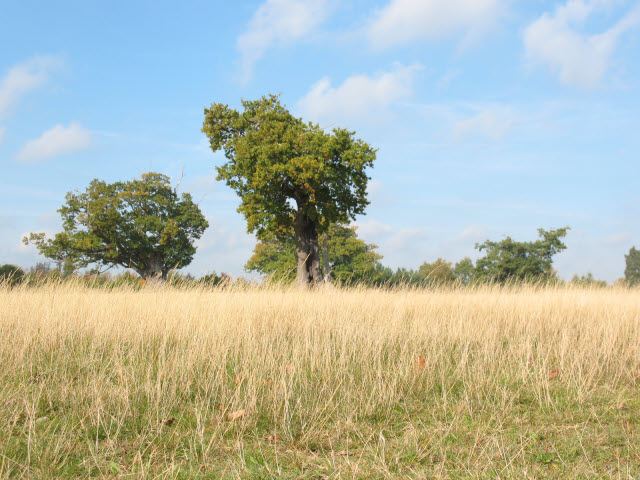 Knole Park, long grass and trees - geograph.org.uk - 1012759