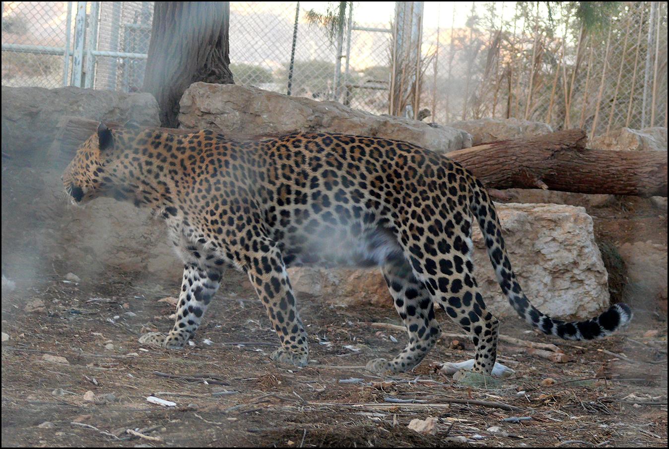 https://upload.wikimedia.org/wikipedia/commons/0/09/Leopard_-_Hai-Bar_Yotvata_2013.jpg