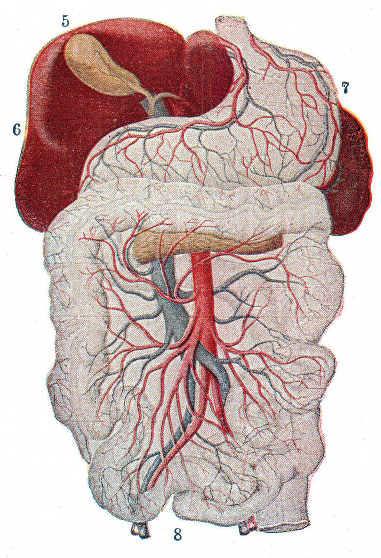 Liver vessels anatomy