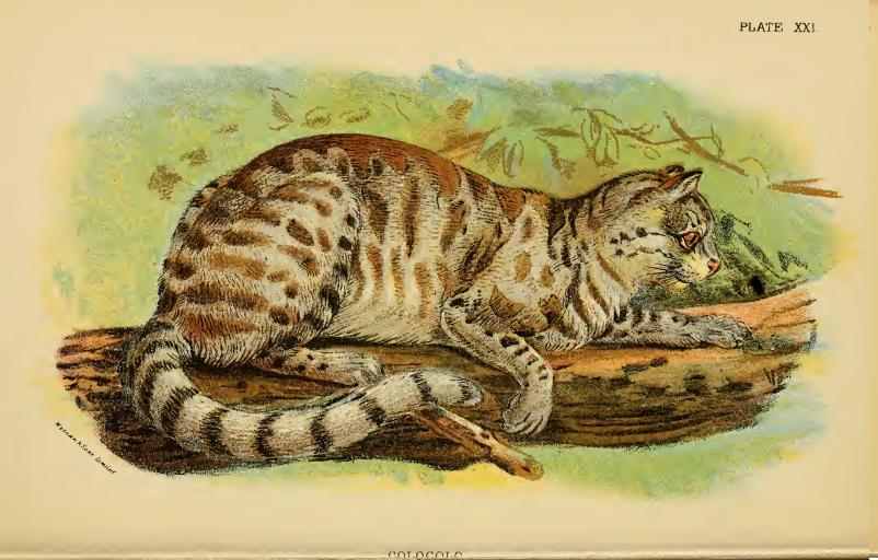 """Lydekker - Colocolo"" by Wyman & Sons Limited - Lloyd's Natural History: ""A hand-book to the Carnivora. Part 1, Cats, civets, and mungoose""[1] by Richard Lydekker. Licensed under Public Domain via Wikimedia Commons - https://commons.wikimedia.org/wiki/File:Lydekker_-_Colocolo.JPG#/media/File:Lydekker_-_Colocolo.JPG"