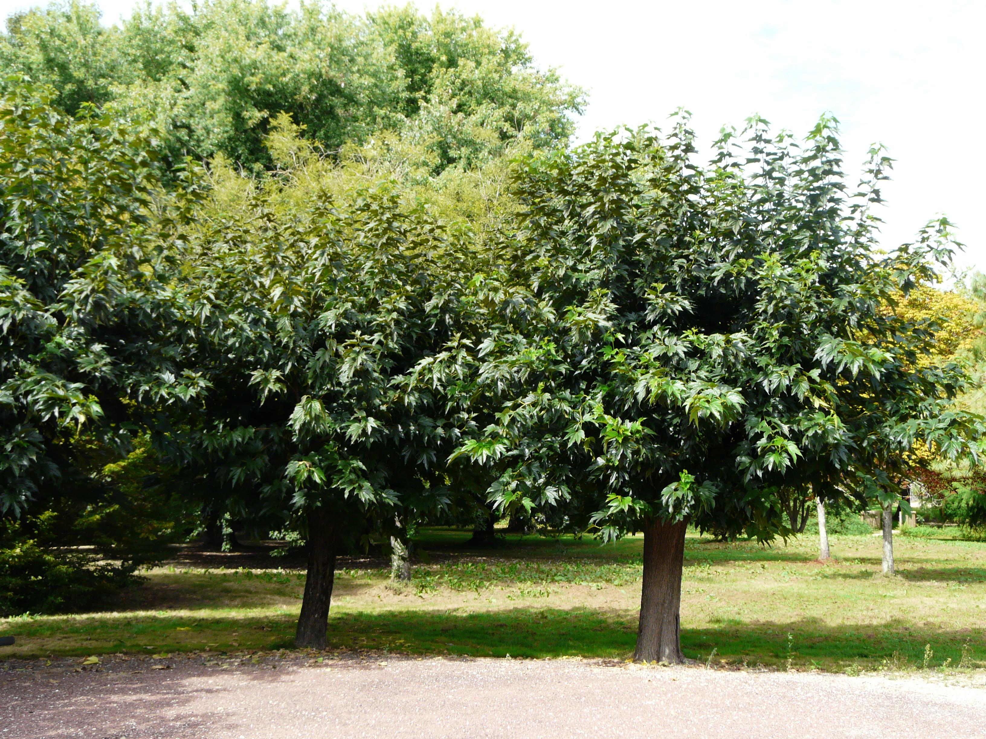 File m riers feuilles de platane - Quel arbre pour petit jardin ...