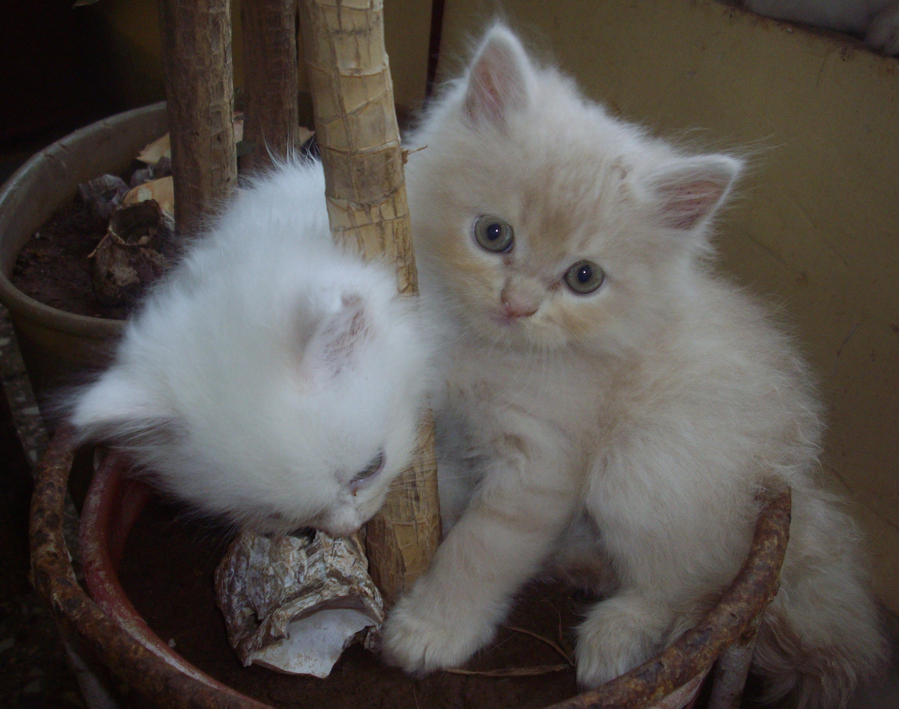 File Mumbai Doll Faced Persian kittens Wikimedia mons