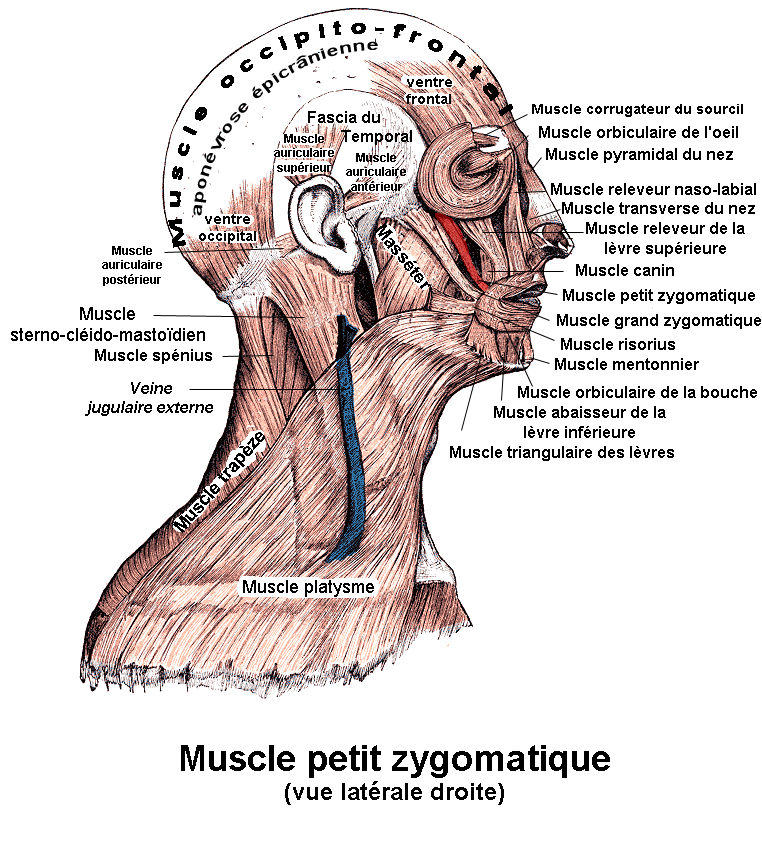 https://upload.wikimedia.org/wikipedia/commons/0/09/Muscle_petit_zygomatique.png