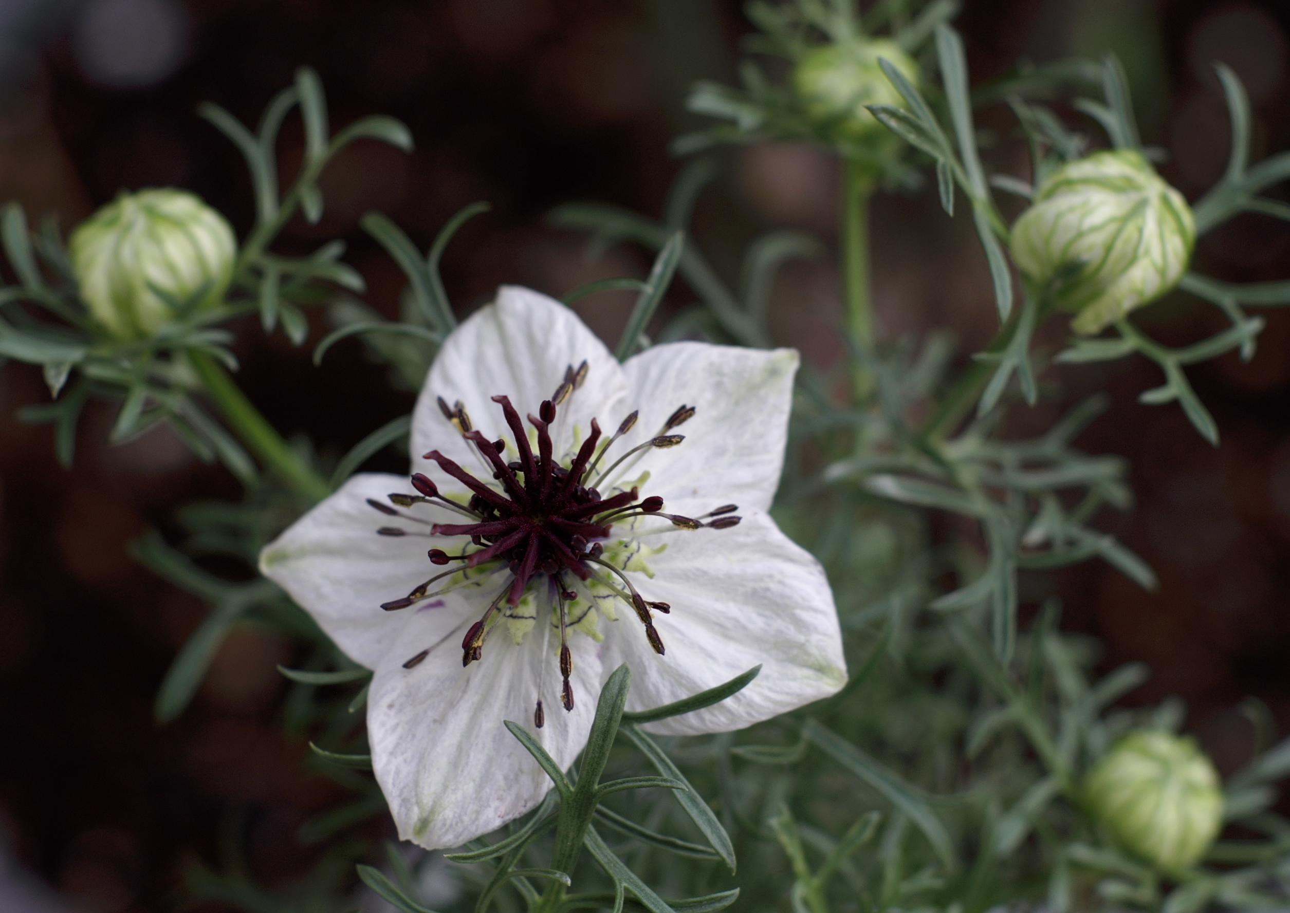 The spice doc edible and medicinal flowers - Nigella Sativa Jpg