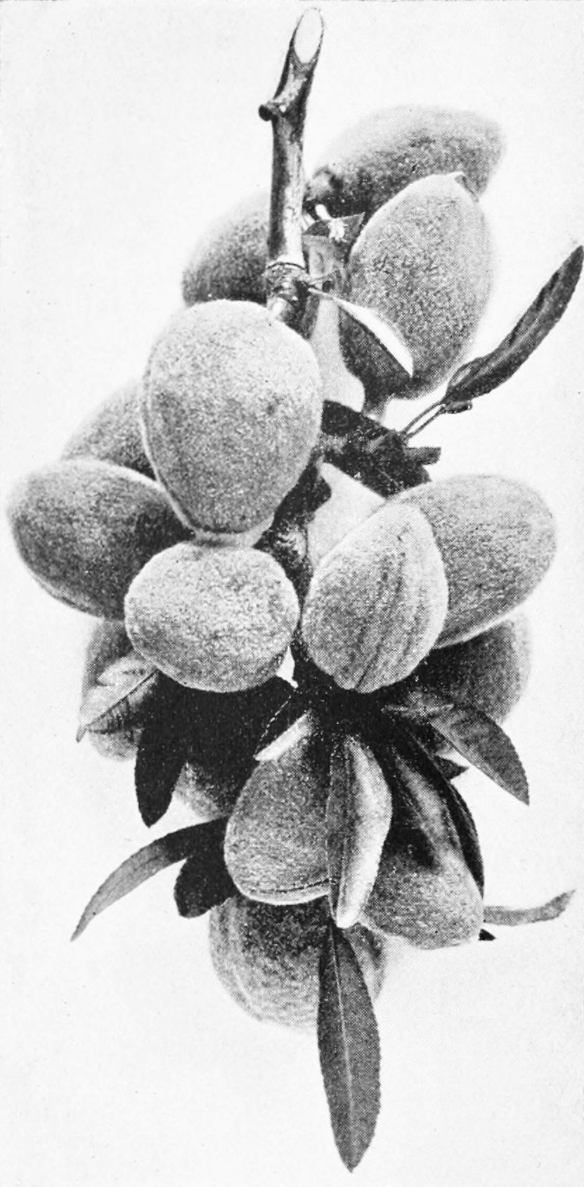 PSM V44 D226 Almond bough in july.jpg
