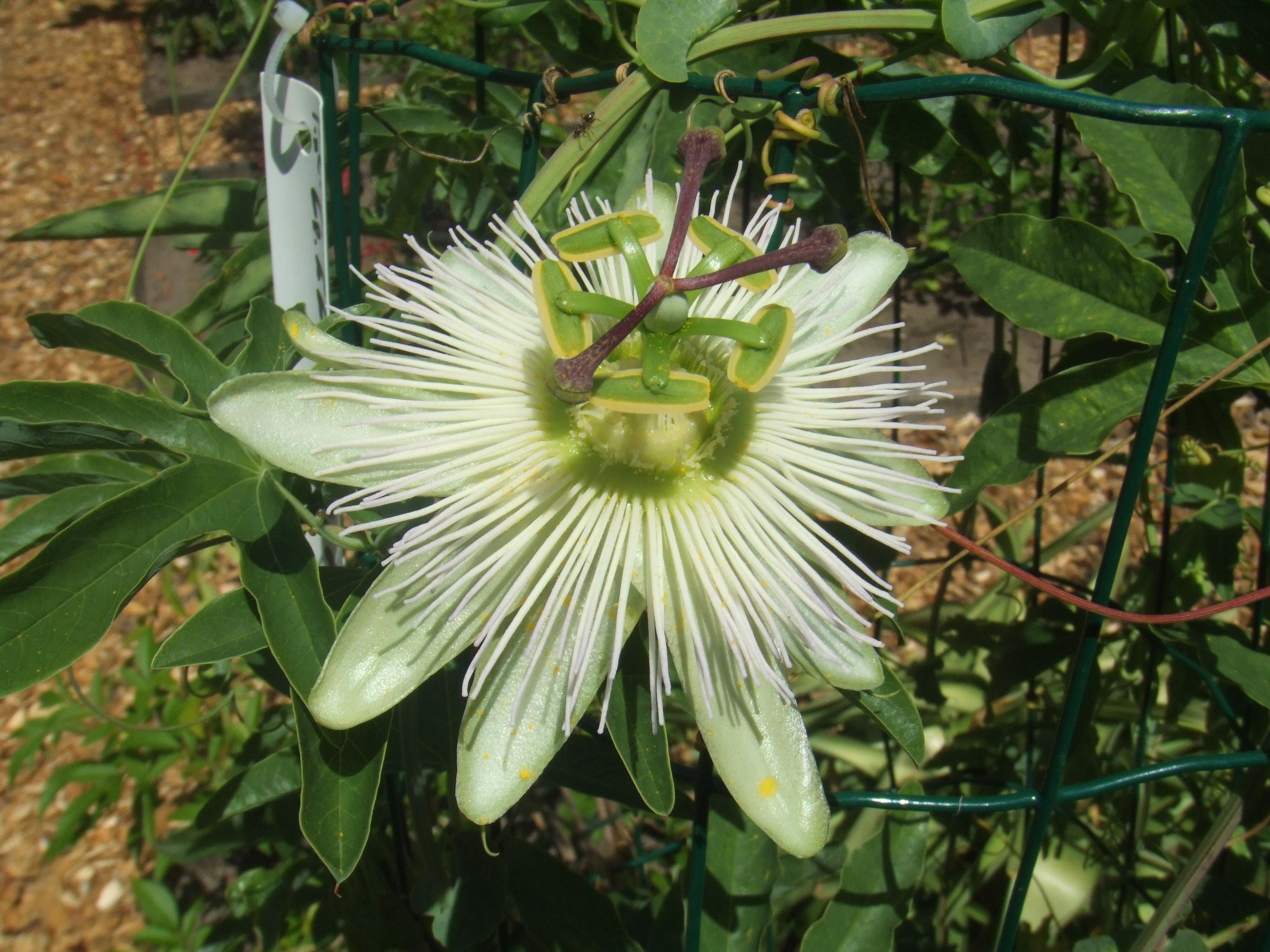 file passiflora caerulea 39 constance elliot 39 jpg. Black Bedroom Furniture Sets. Home Design Ideas