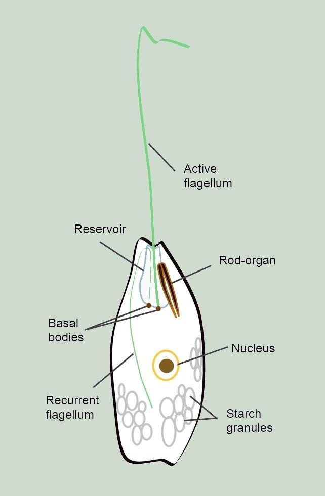 Das Augentierchen Euglena: ein einzelliger Geißelträger des Süßwassers