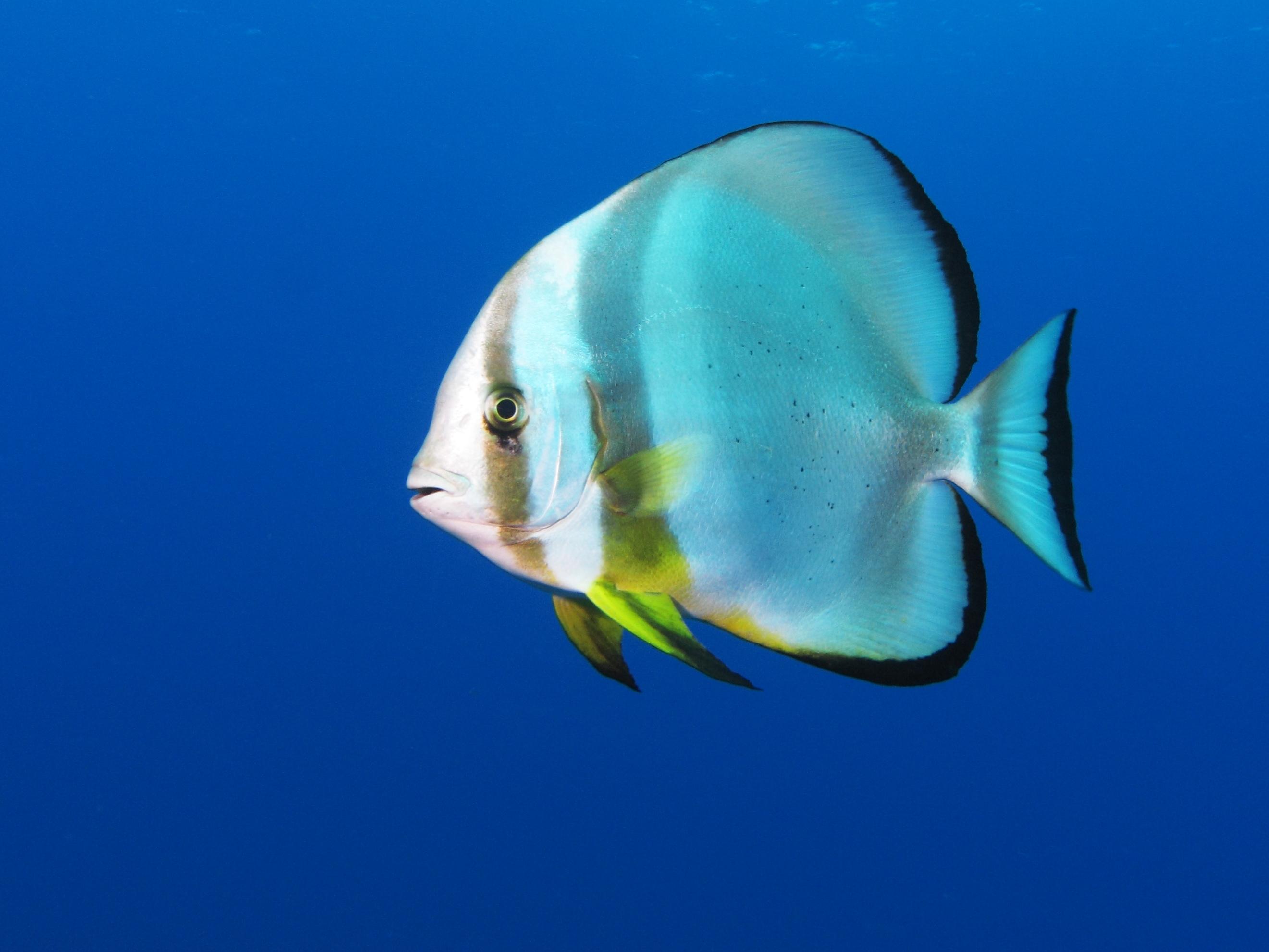 File:Platax Orbicularis in the Egyptian Red Sea.jpg - Wikipedia, the ...