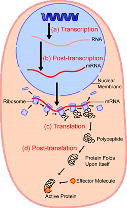 An overview of protein synthesis