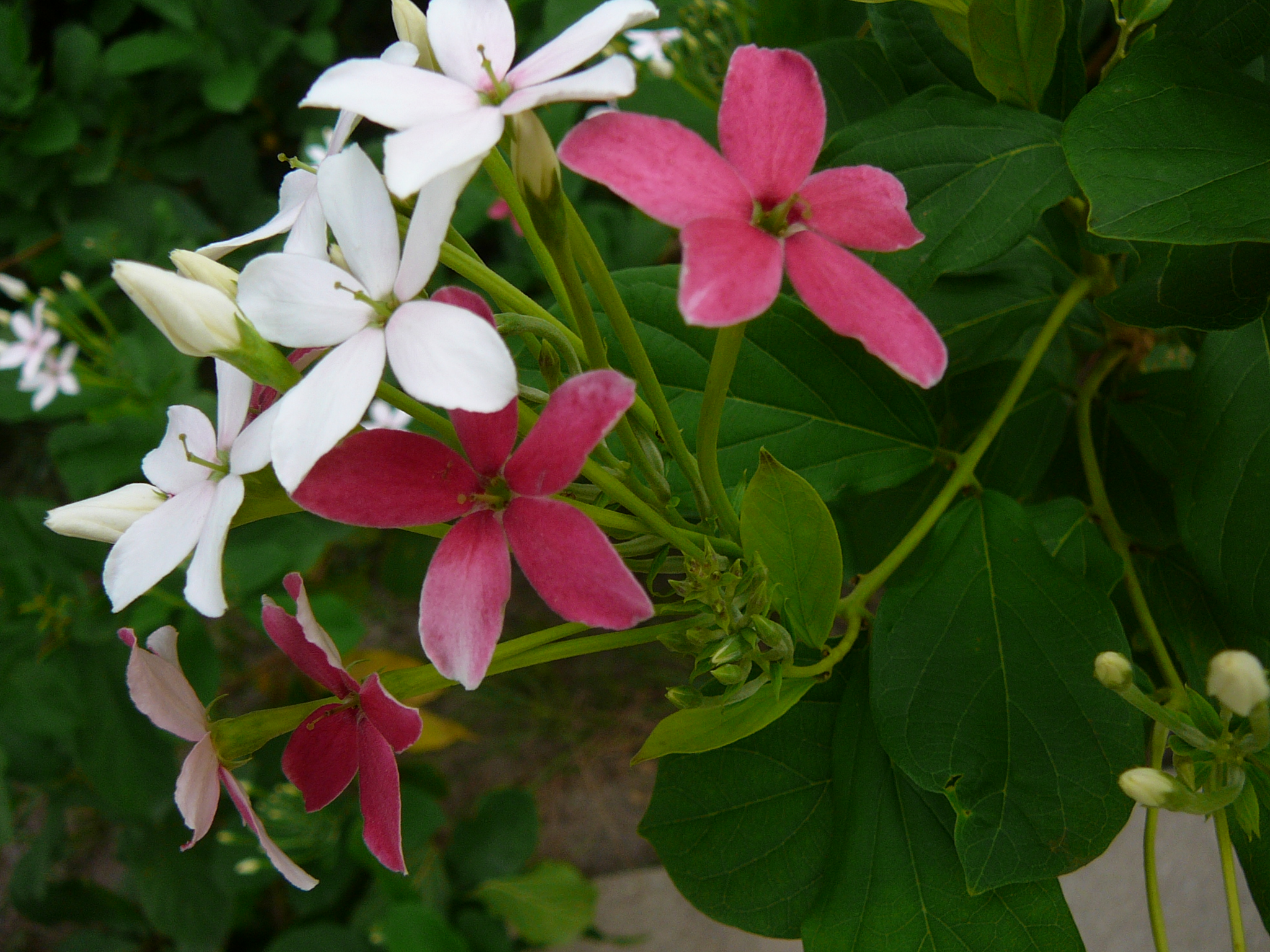 medicinal plants in the philippines a