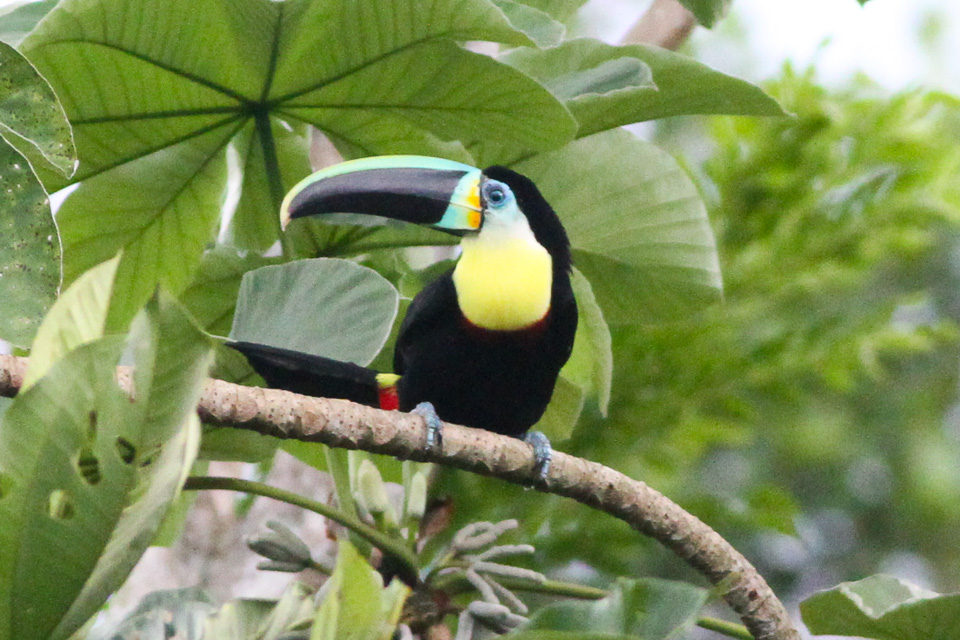 https://upload.wikimedia.org/wikipedia/commons/0/09/Ramphastos_vitellinus_citreolaemus_3.jpg