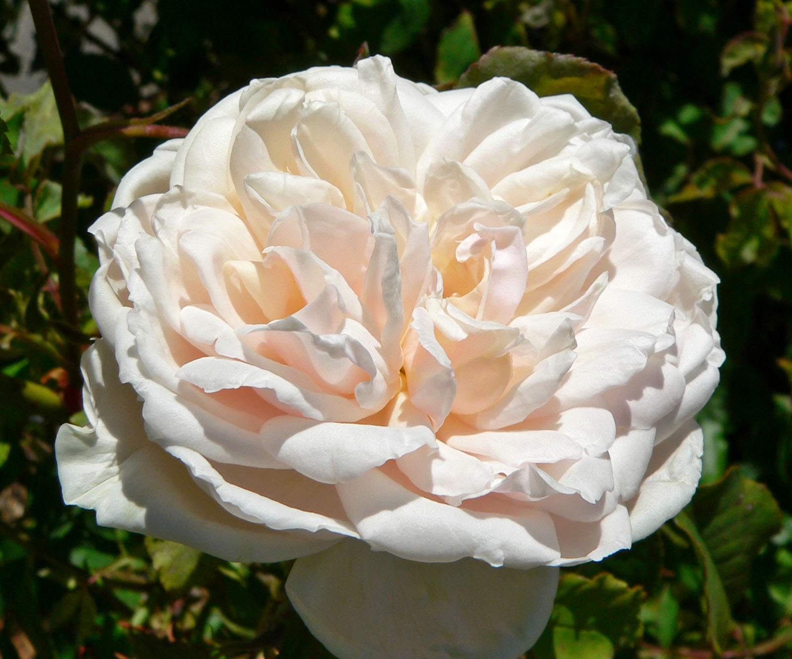file rosa madame alfred carriere wikimedia commons