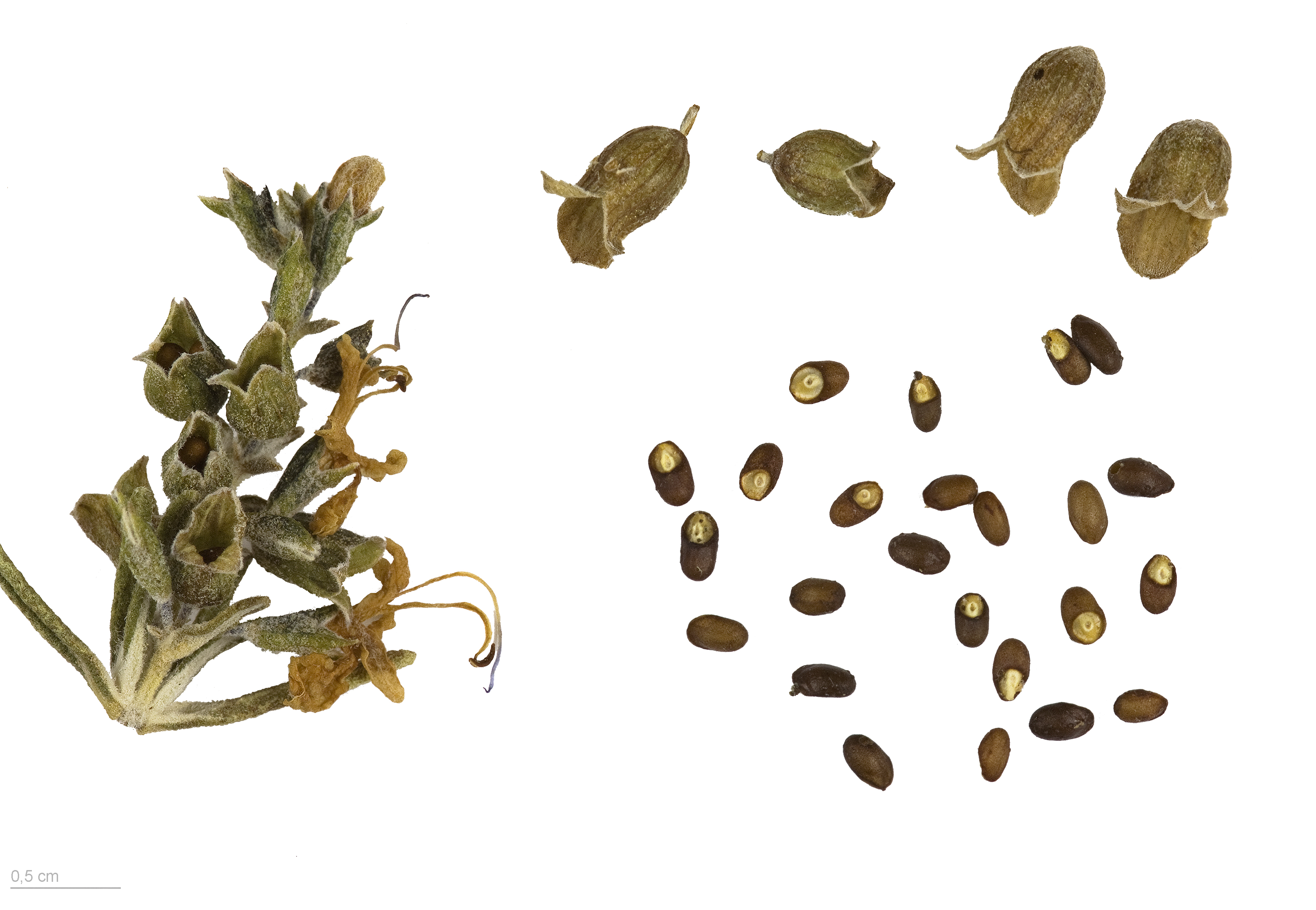 200 Samen Rosmarin Rosmarinus officinalis