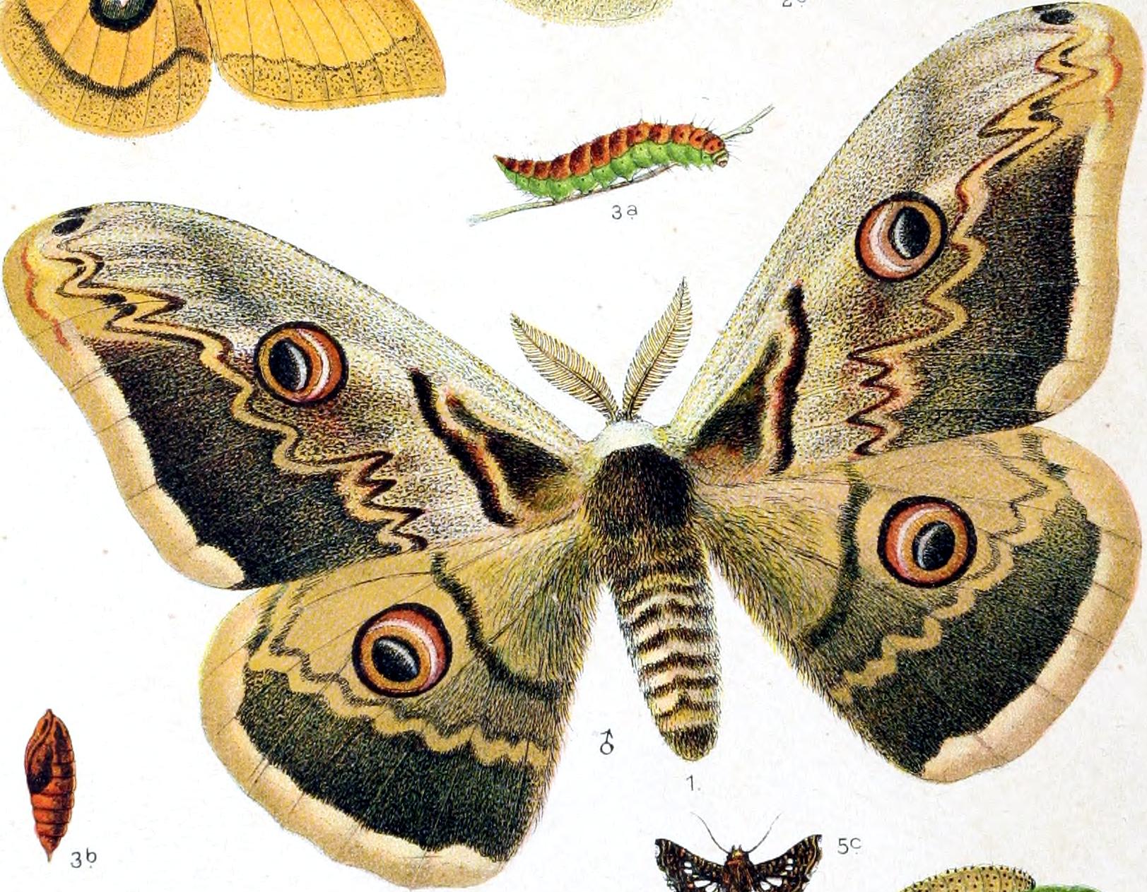 File Saturnia Pyri Dessin Png Wikimedia Commons