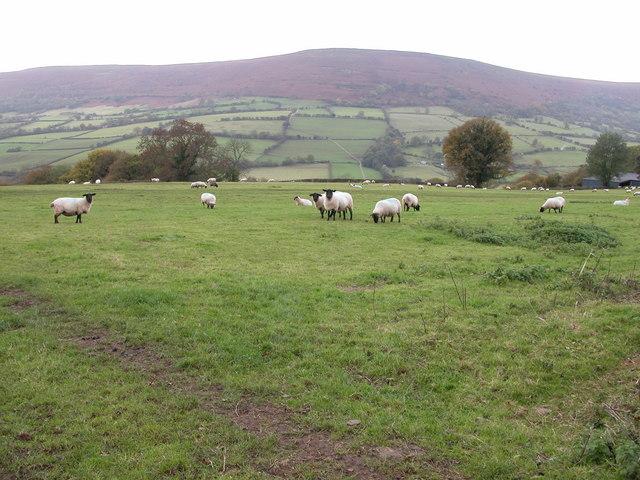 File:Sheep in a field beside Welsh Hunthouse - geograph.org.uk - 276870.jpg