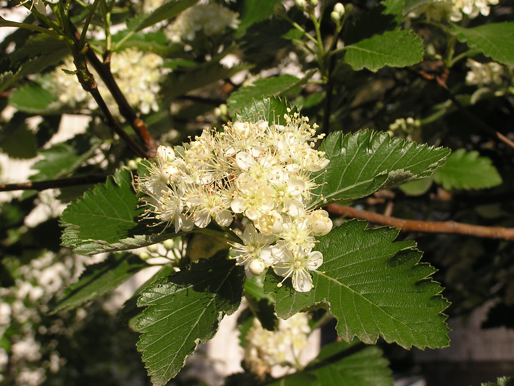 File:Sorbus mougeotii flowers.jpg - Wikimedia Commons: commons.wikimedia.org/wiki/File:Sorbus_mougeotii_flowers.jpg