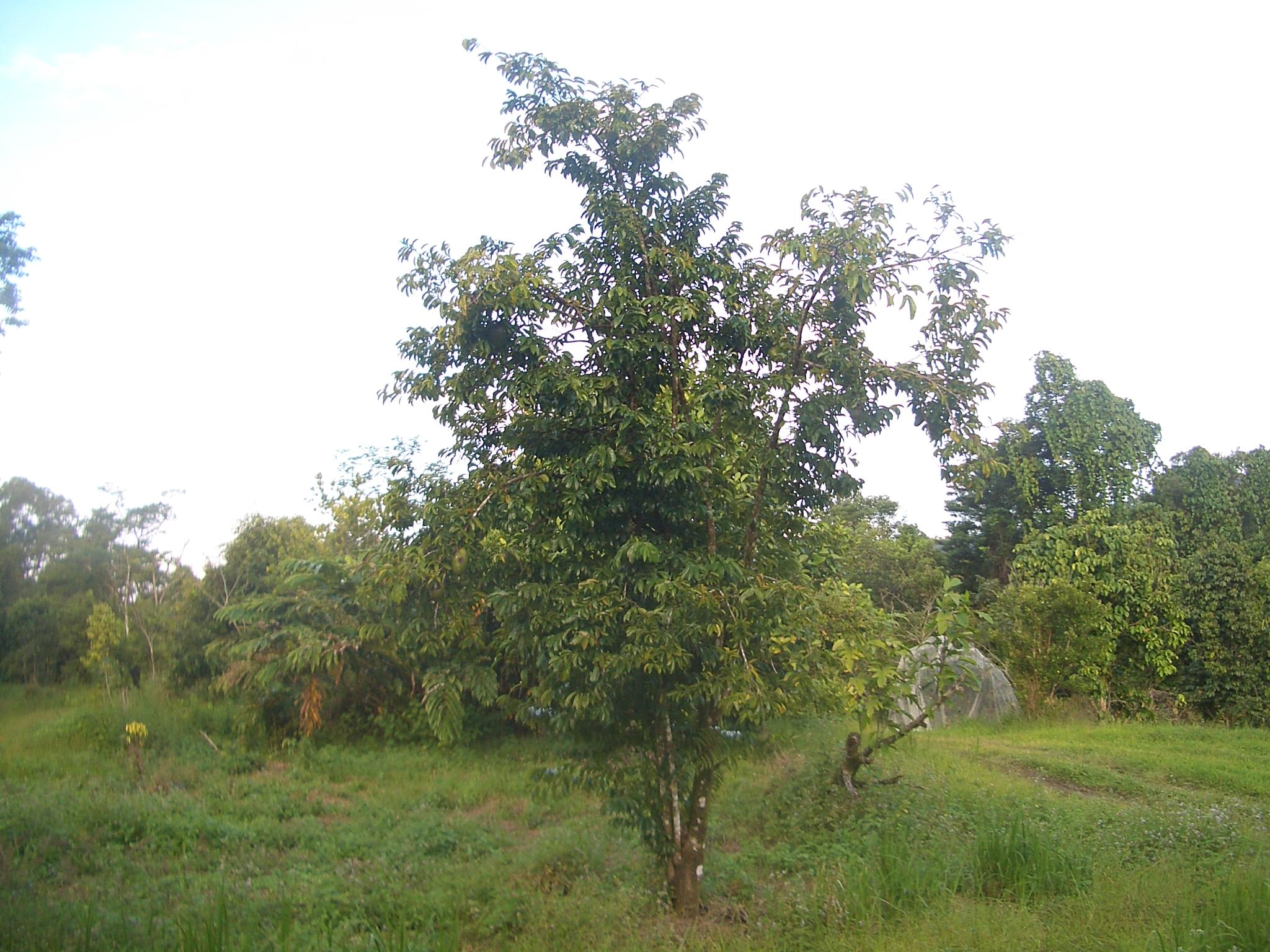 File:Soursop-tree-1480.jpg