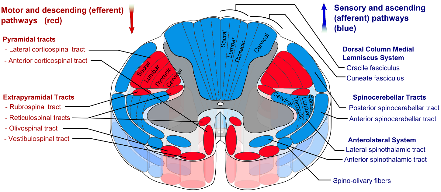 File:Spinal_cord_tracts_ _English on Horizontal Translation