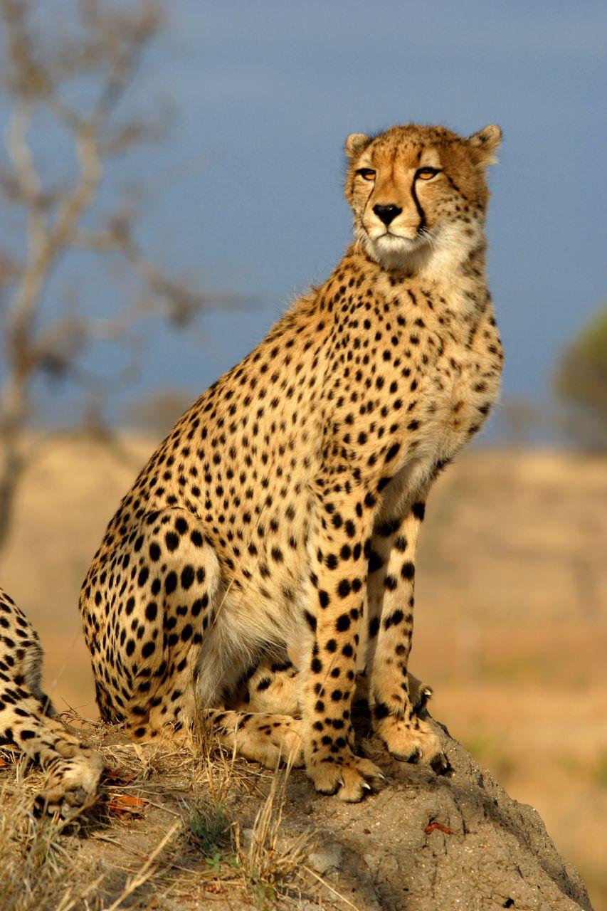 Animales salvajes en su habitad. TheCheethcat