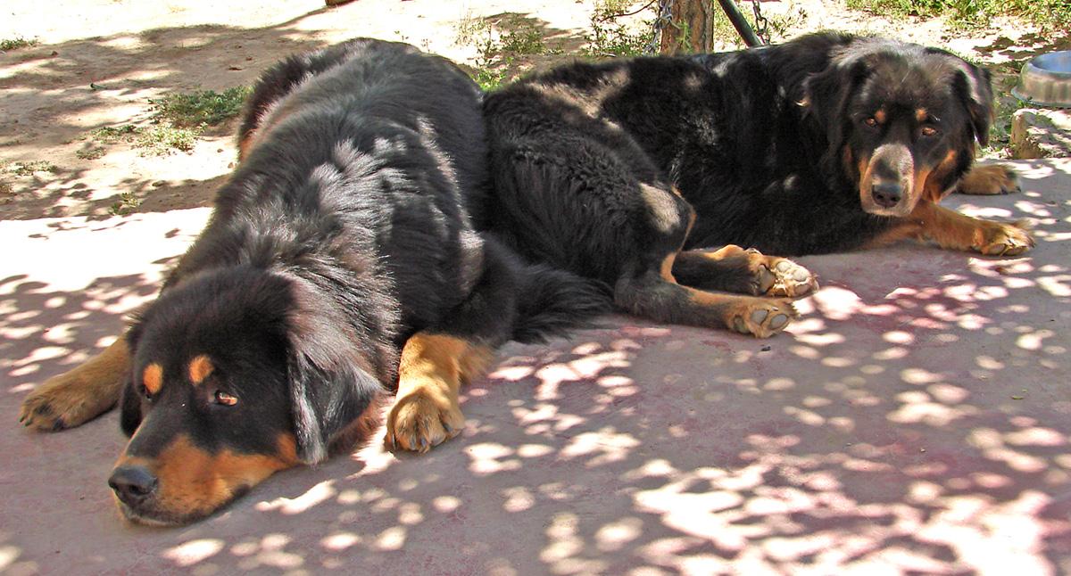 Adopt Dog Ontario Calm Docile Good With Children