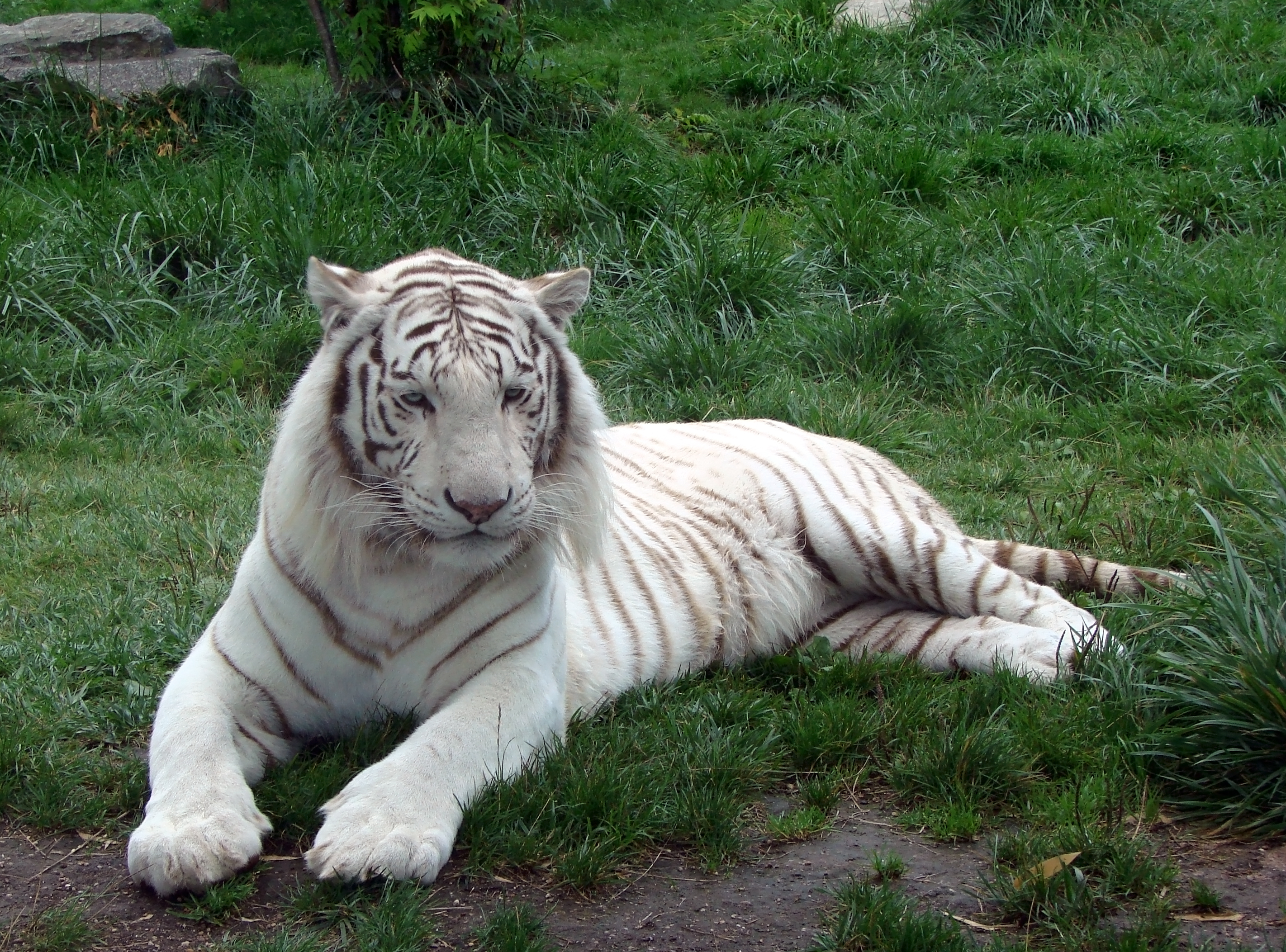 Une Heure Pour Soi Fameck Tarifs file:tigre blanc zoo d'amnéville 27082010 4 - wikimedia