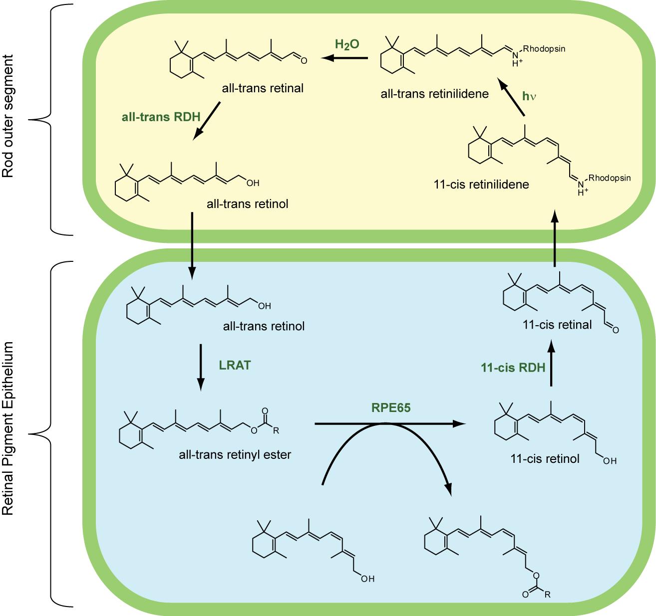 Retinol Dehydrogenase