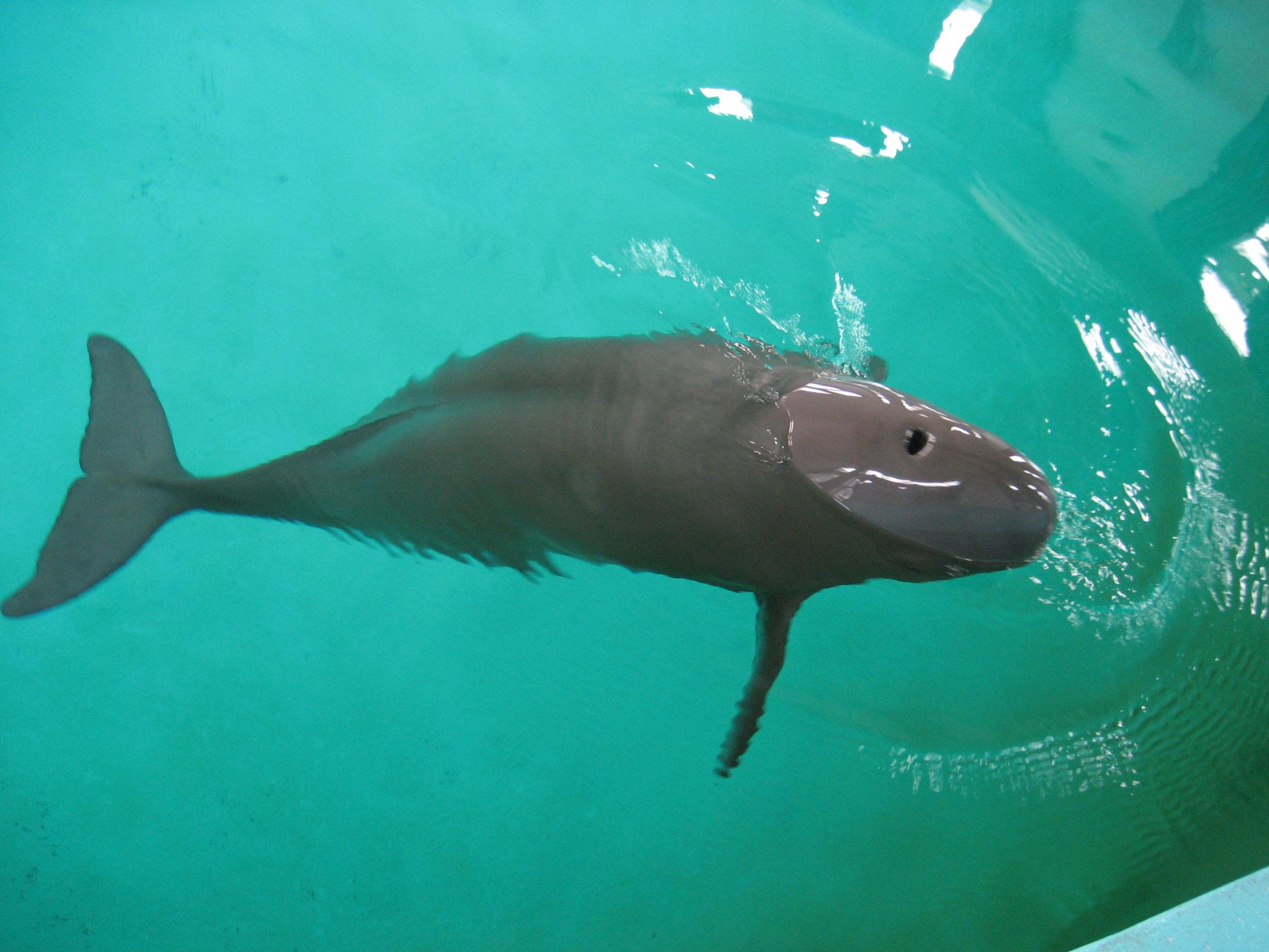 778c2c19ea22 Narrow-ridged finless porpoise - Wikipedia