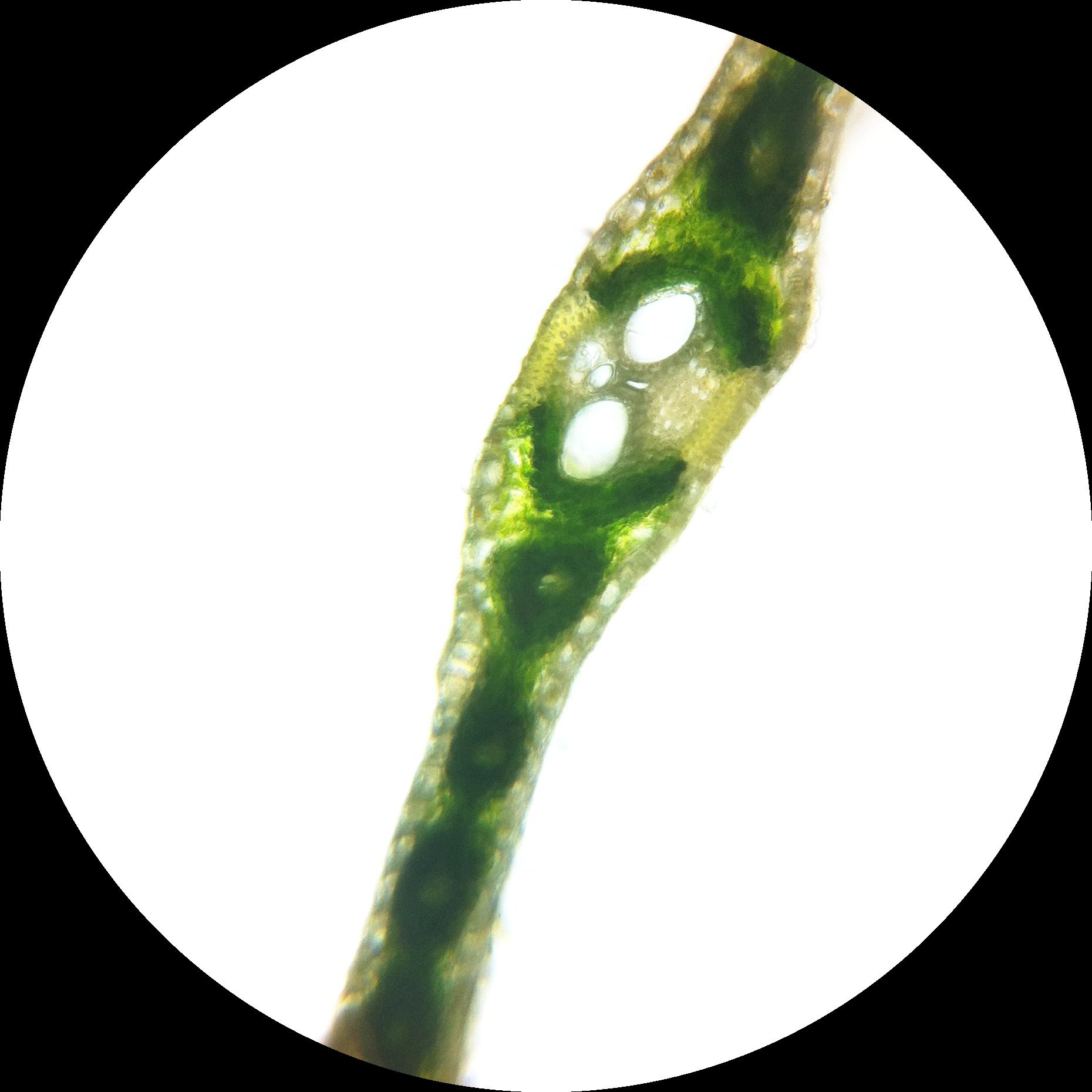 Filezea Mays Leaf Kranz Anatomy 1 200g Wikimedia Commons