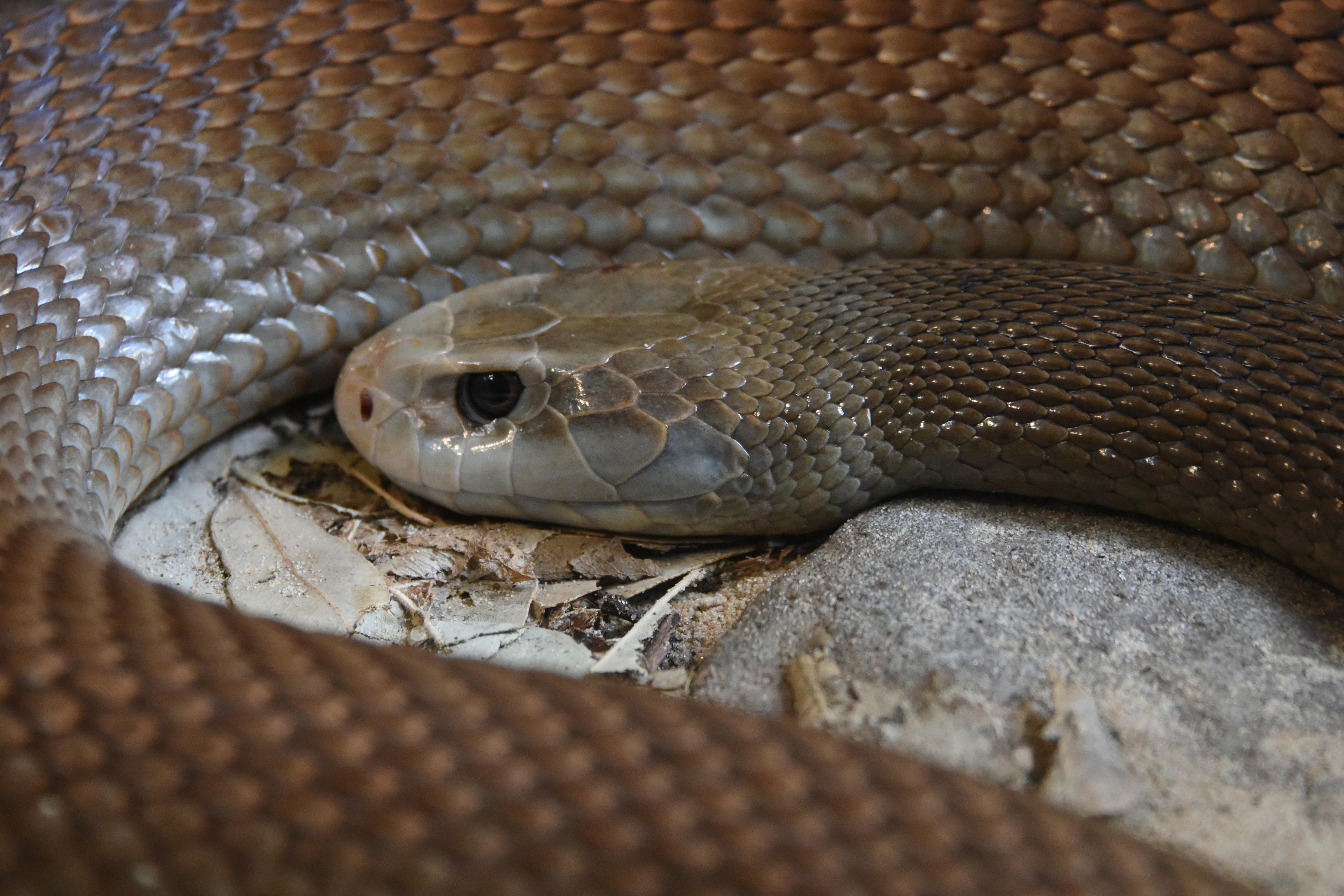 кедра тайпан змея фото сценические